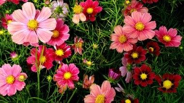 Flores cosmos rosas