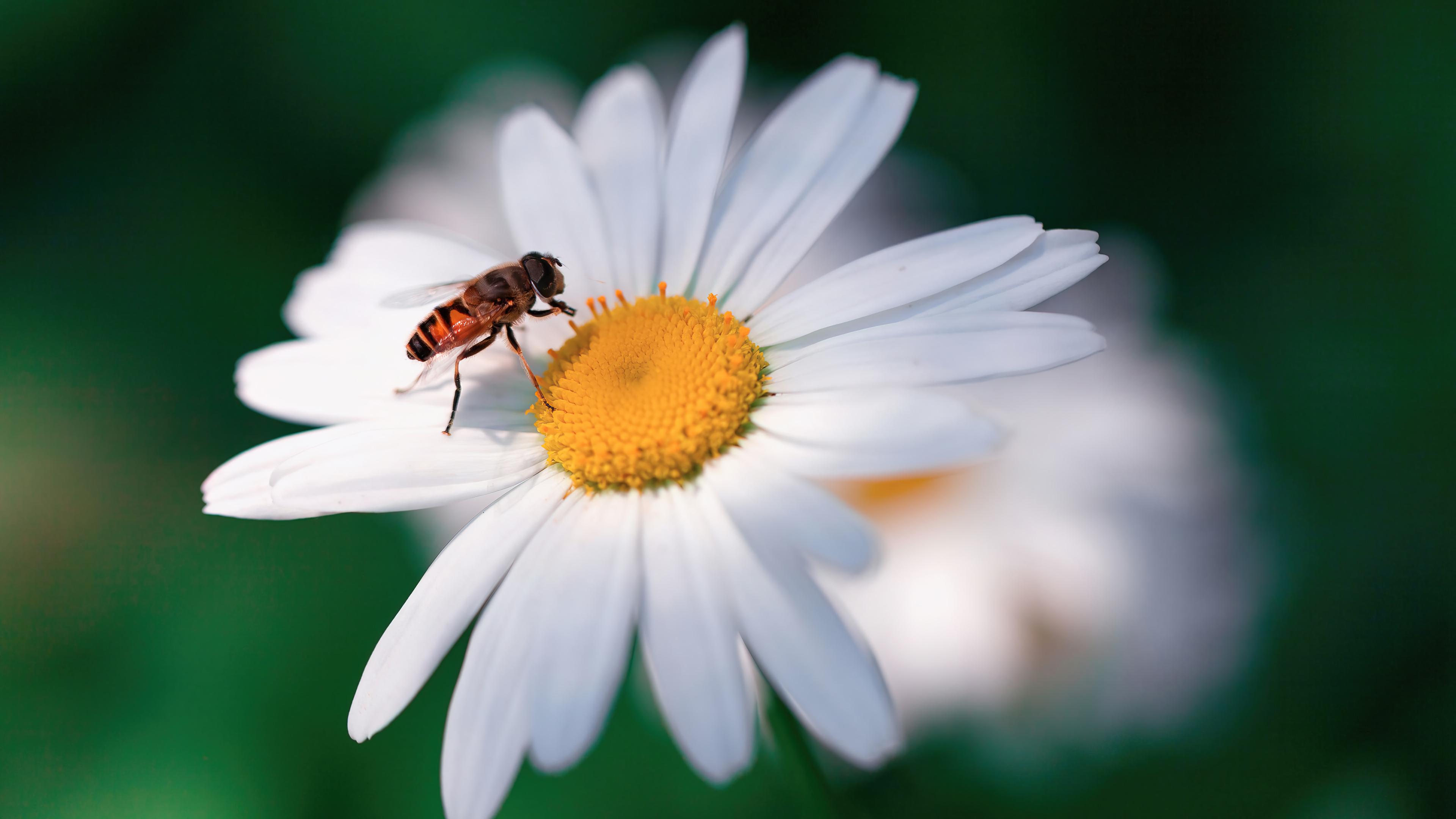 Wallpaper Bee on flower