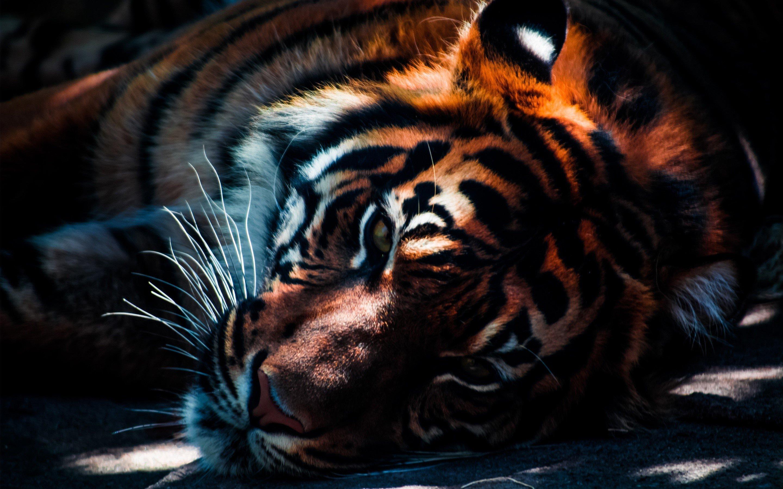 Fondos de pantalla Acercamieto a un tigre