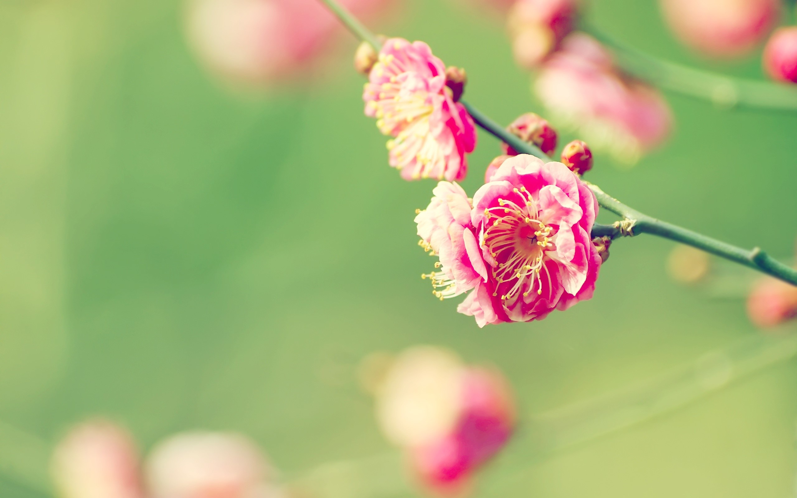 Wallpaper Japanese apricot