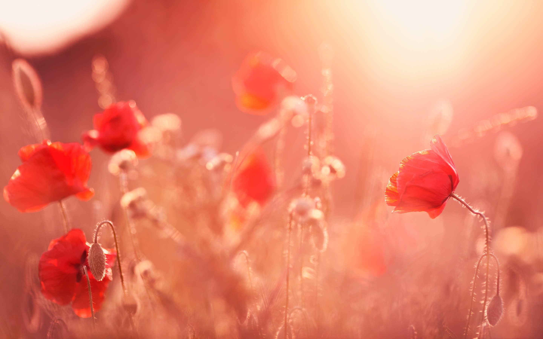 Fondo de pantalla de Amapolas a la luz del sol Imágenes