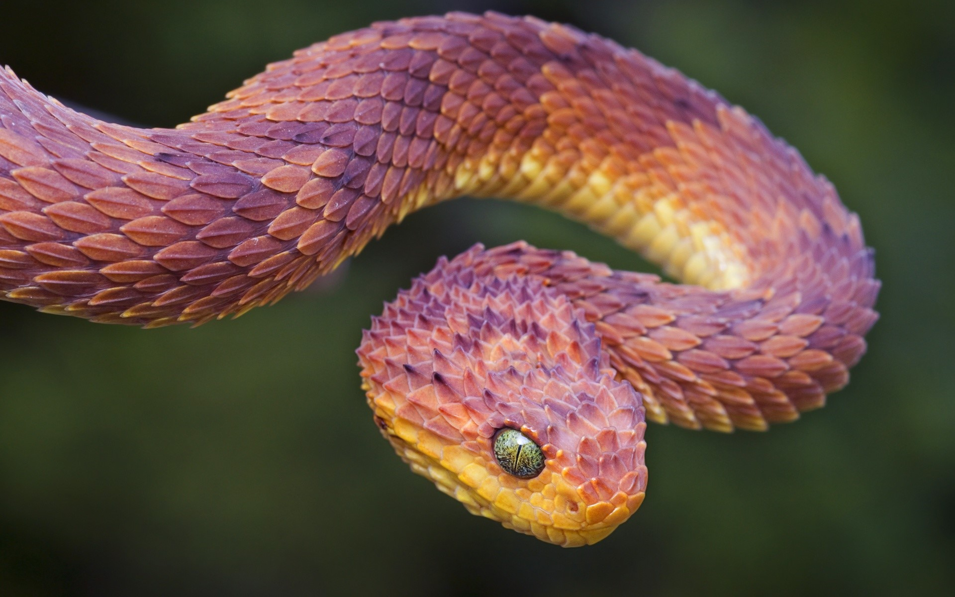 Wallpaper Atheris