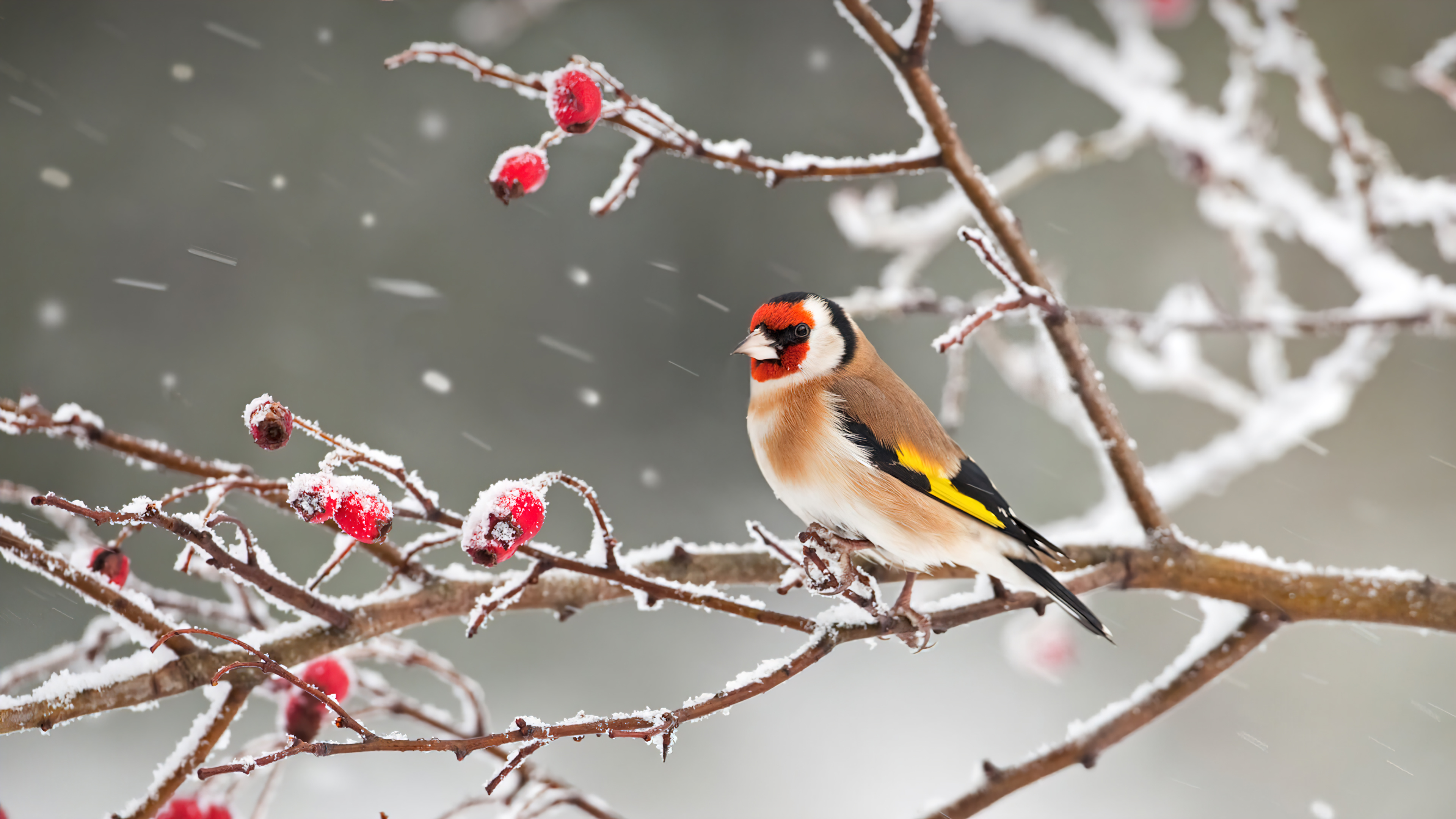 Wallpaper Bird with red head in the snow