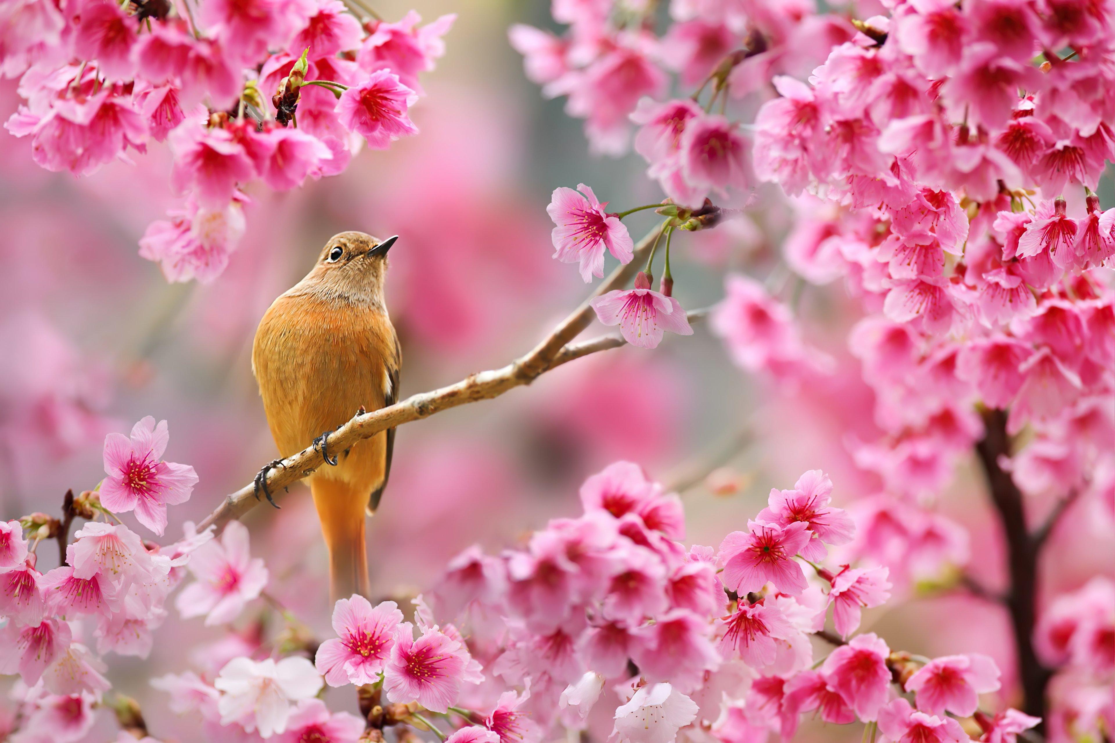 Fondos de pantalla Ave sobre flor de cerezo