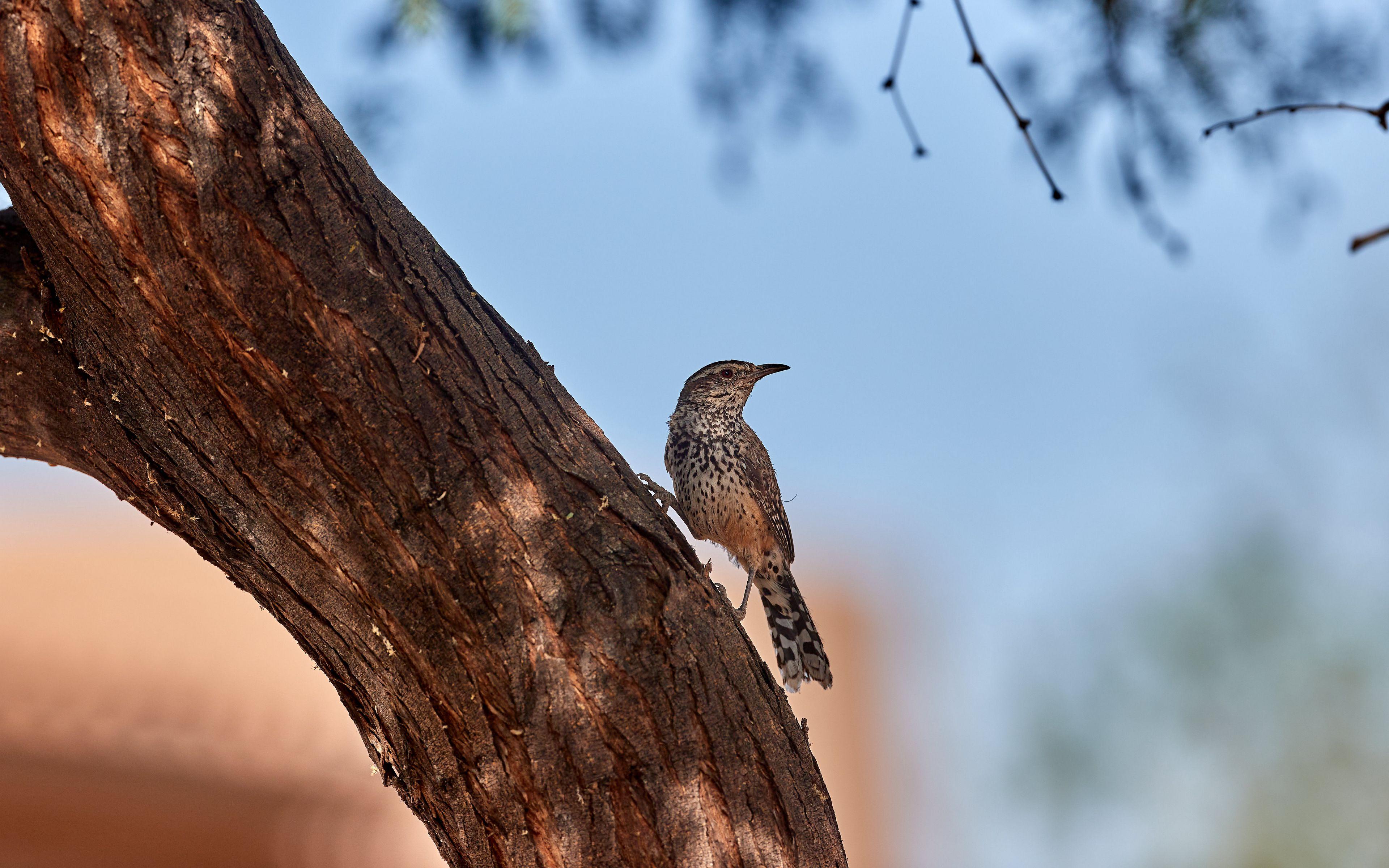Wallpaper Thrush bird on tree