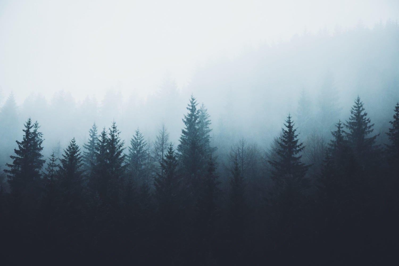 Fondos de pantalla Bosque de pinos en la niebla