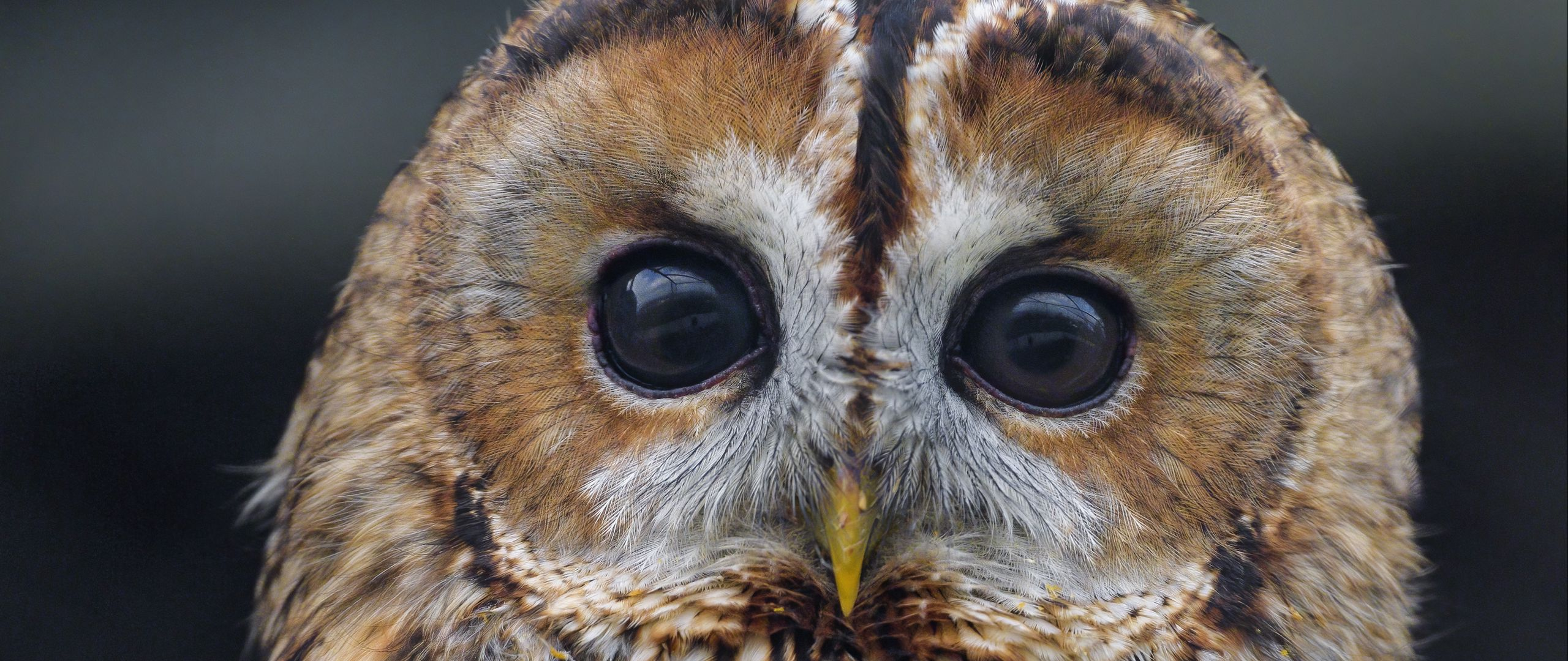 Wallpaper Owl watching