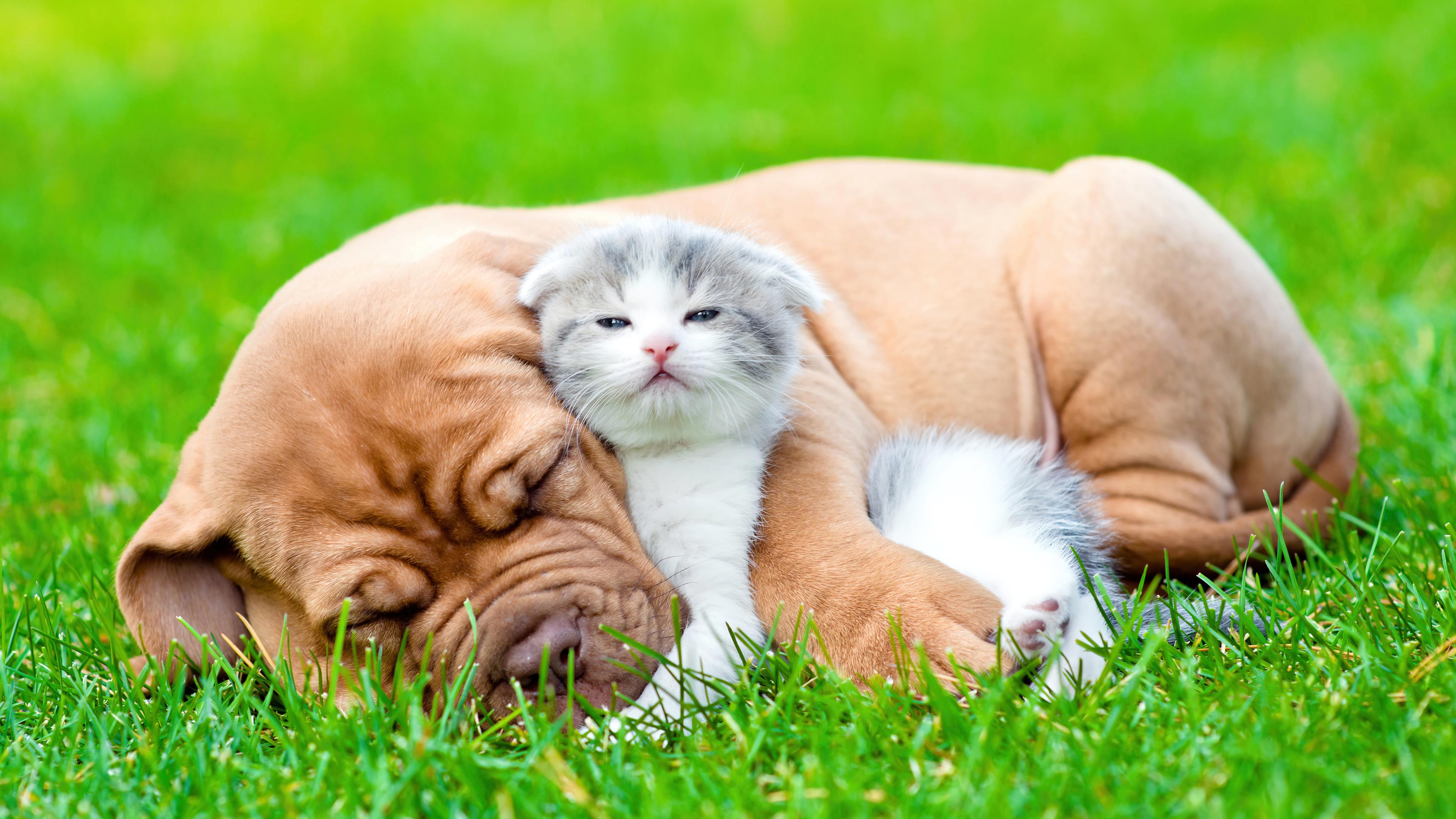 Fondos de pantalla Bulldog y gato