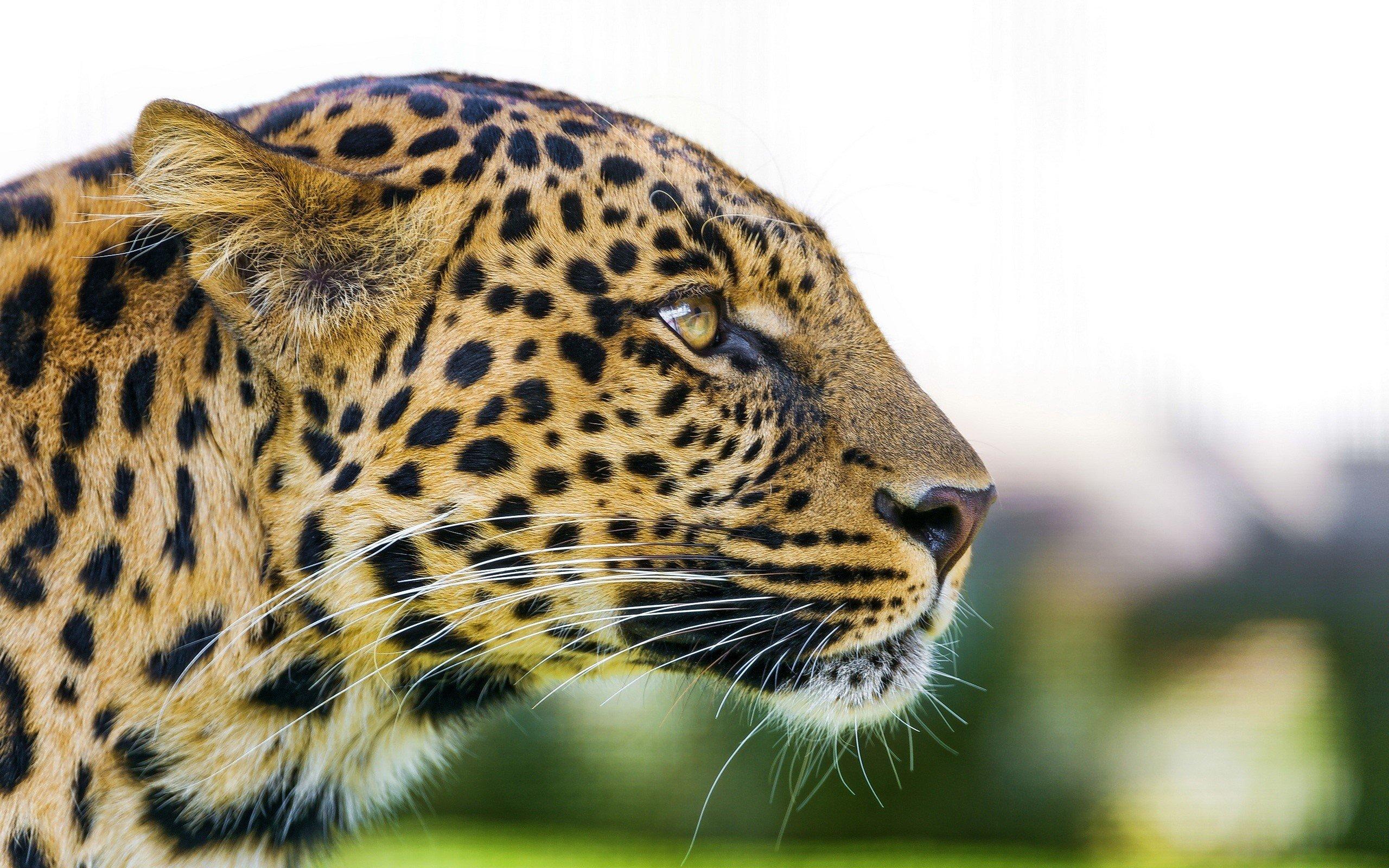 Fondo de pantalla de Cabeza de un leopardo Imágenes