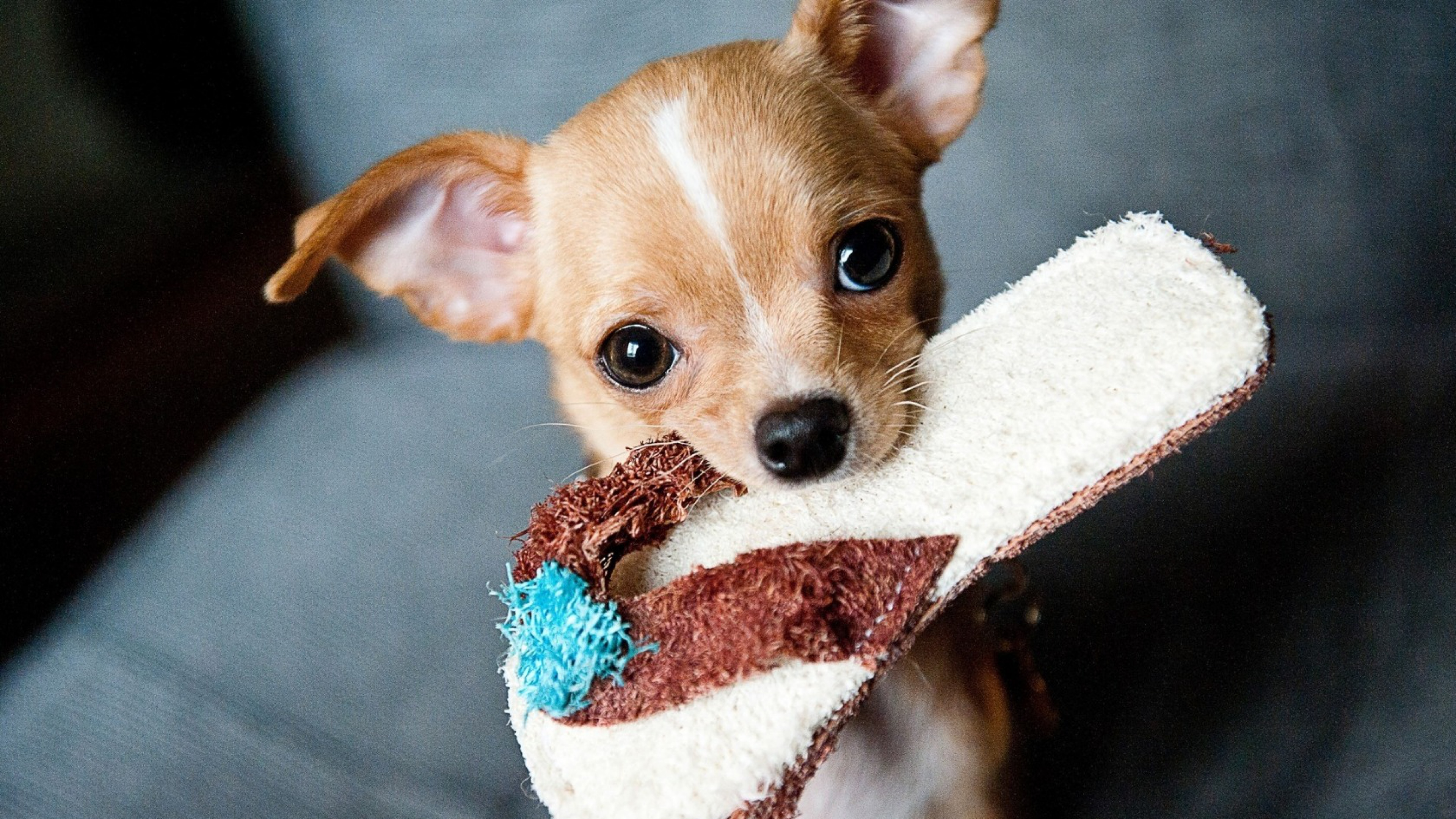 Fondos de pantalla Cachorro Chihuahua