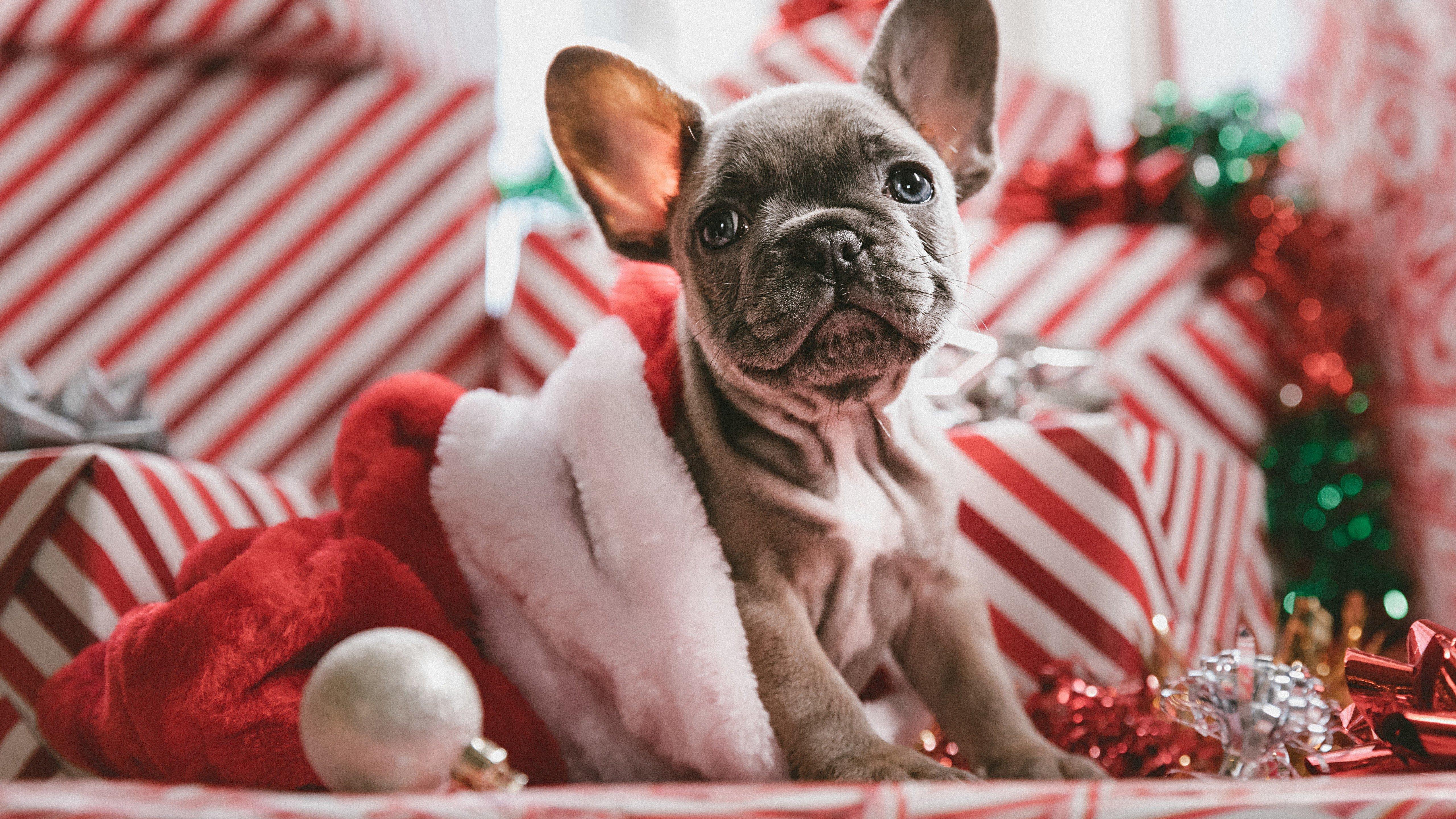 Wallpaper Puppy celebrating Christmas