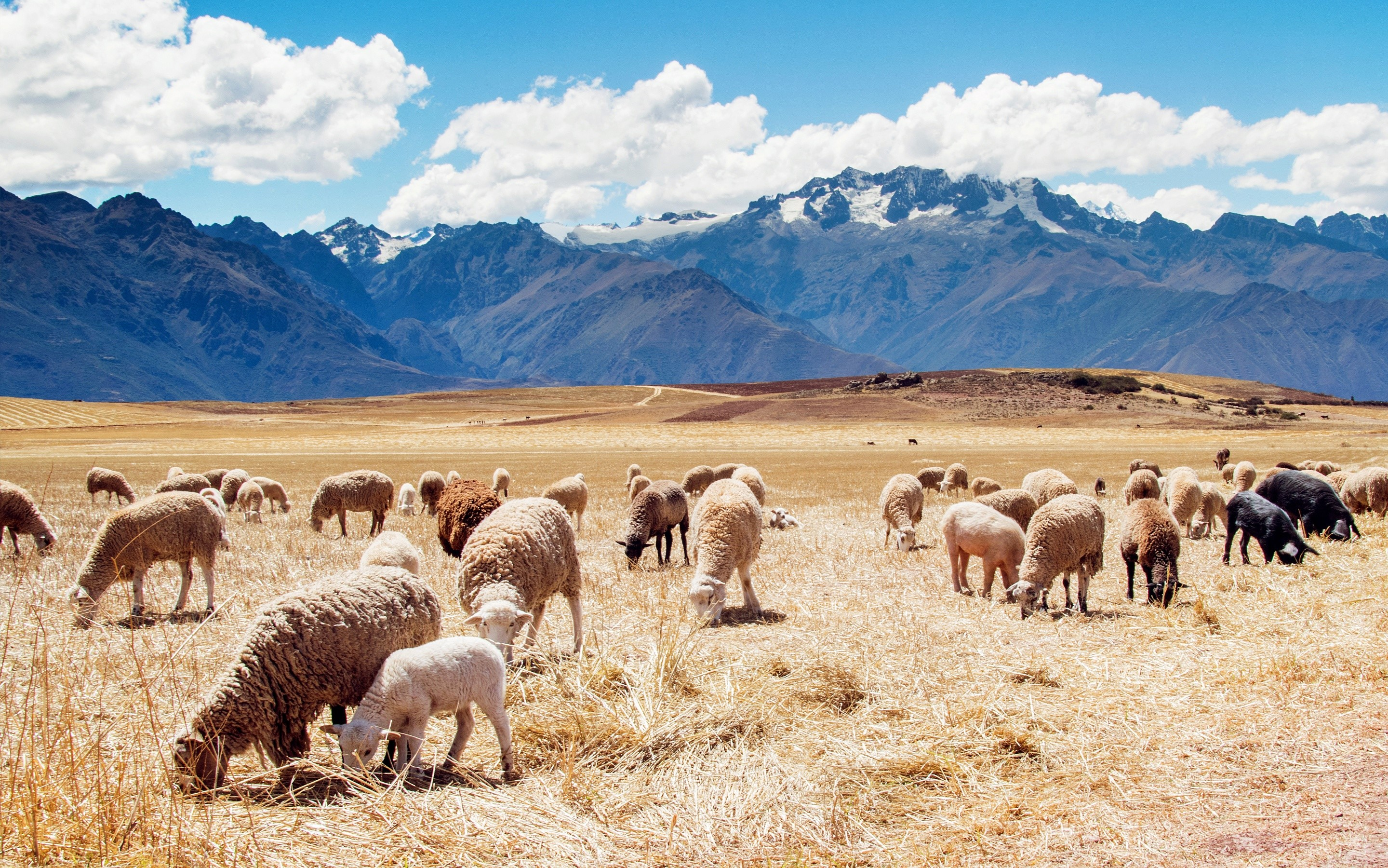 Wallpaper Field with sheep in Peru