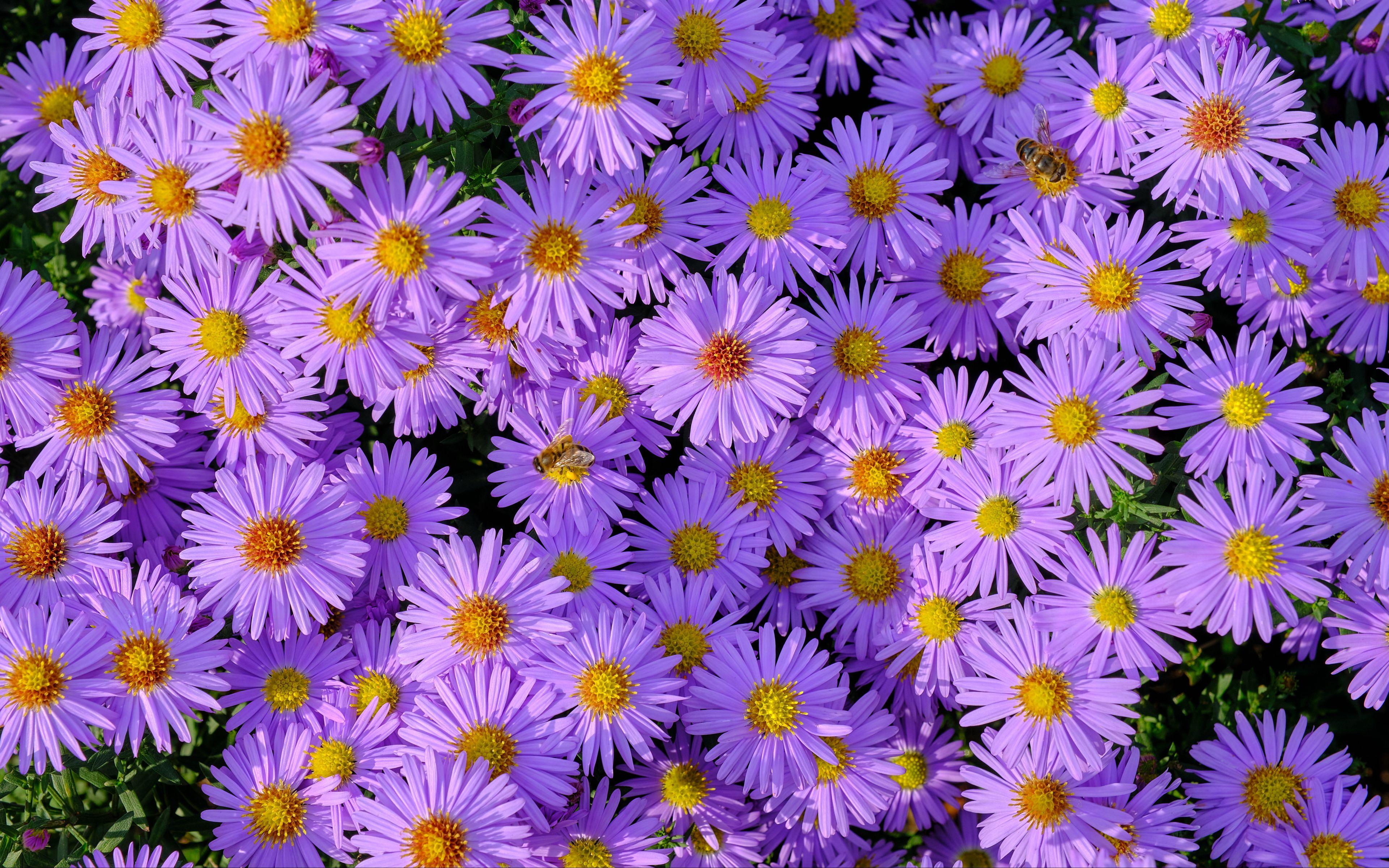 Fondos de pantalla Campo de flores moradas