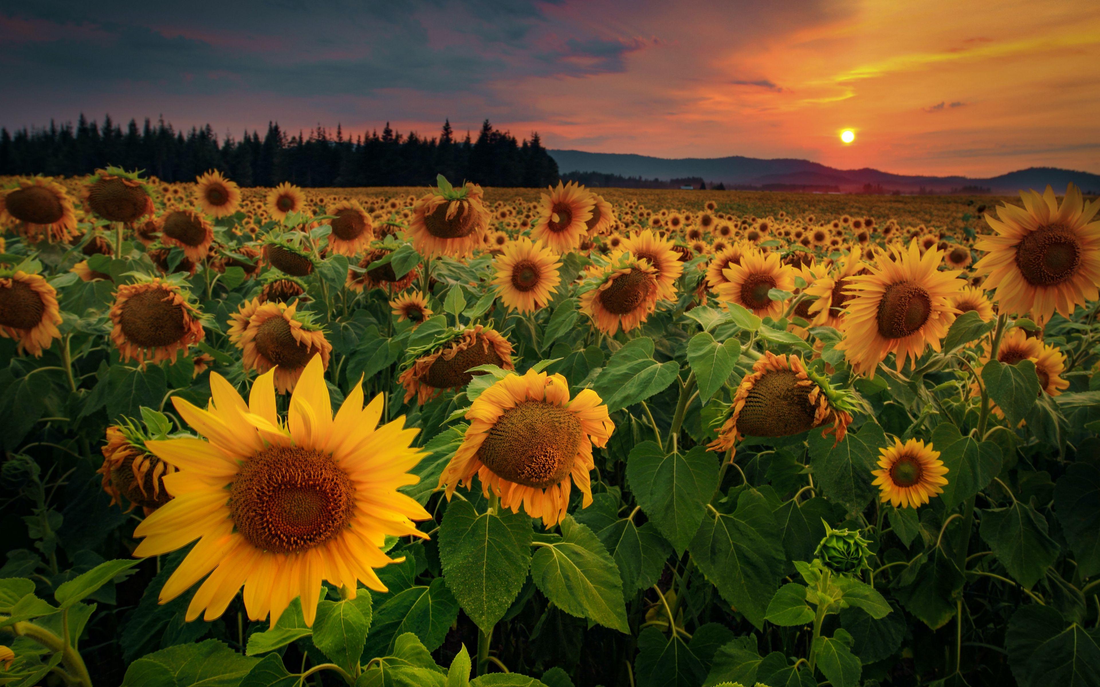 Wallpaper Sunflower Field at sunset