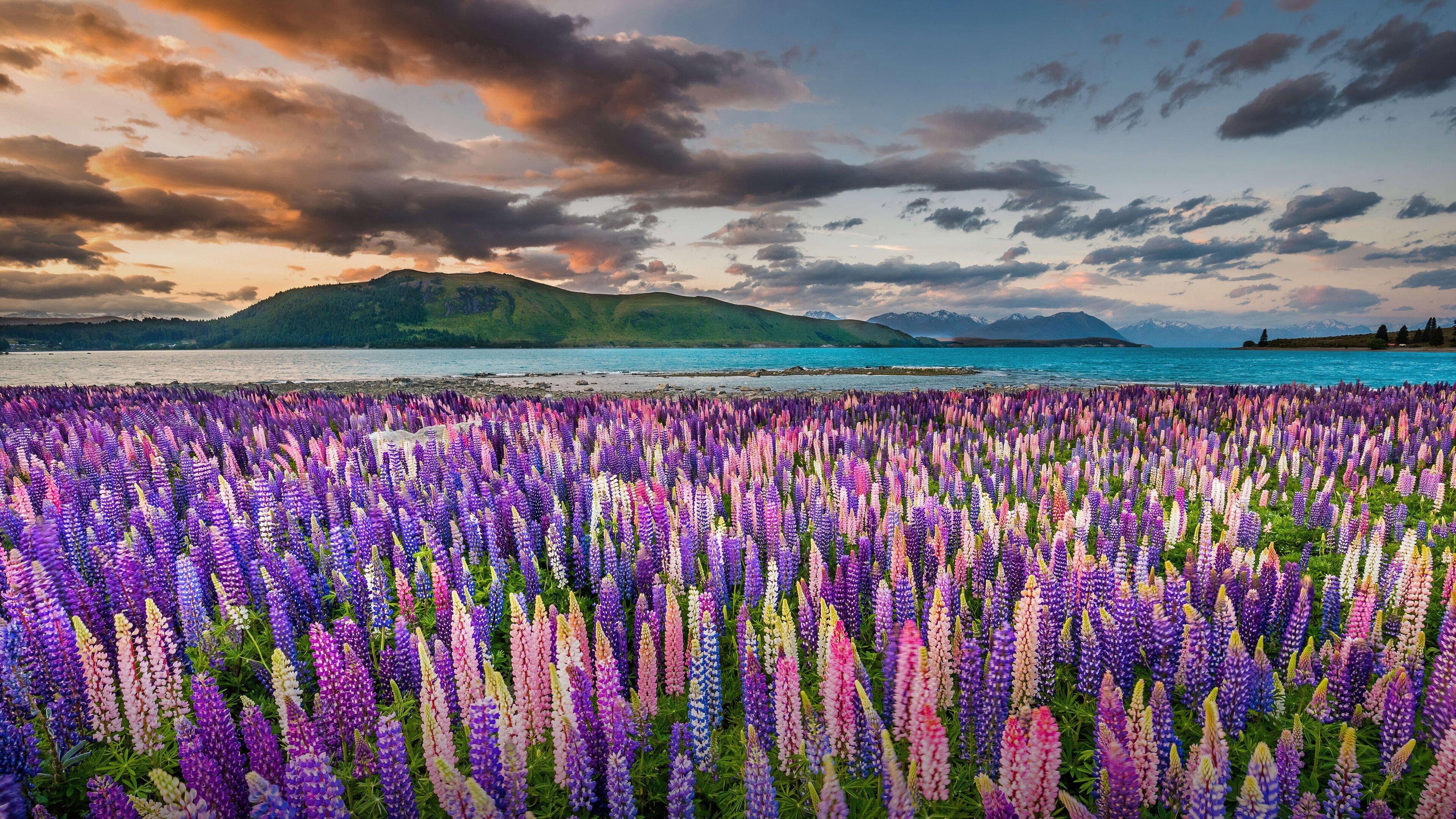 Wallpaper Lavander field at sunlight in New Zeland