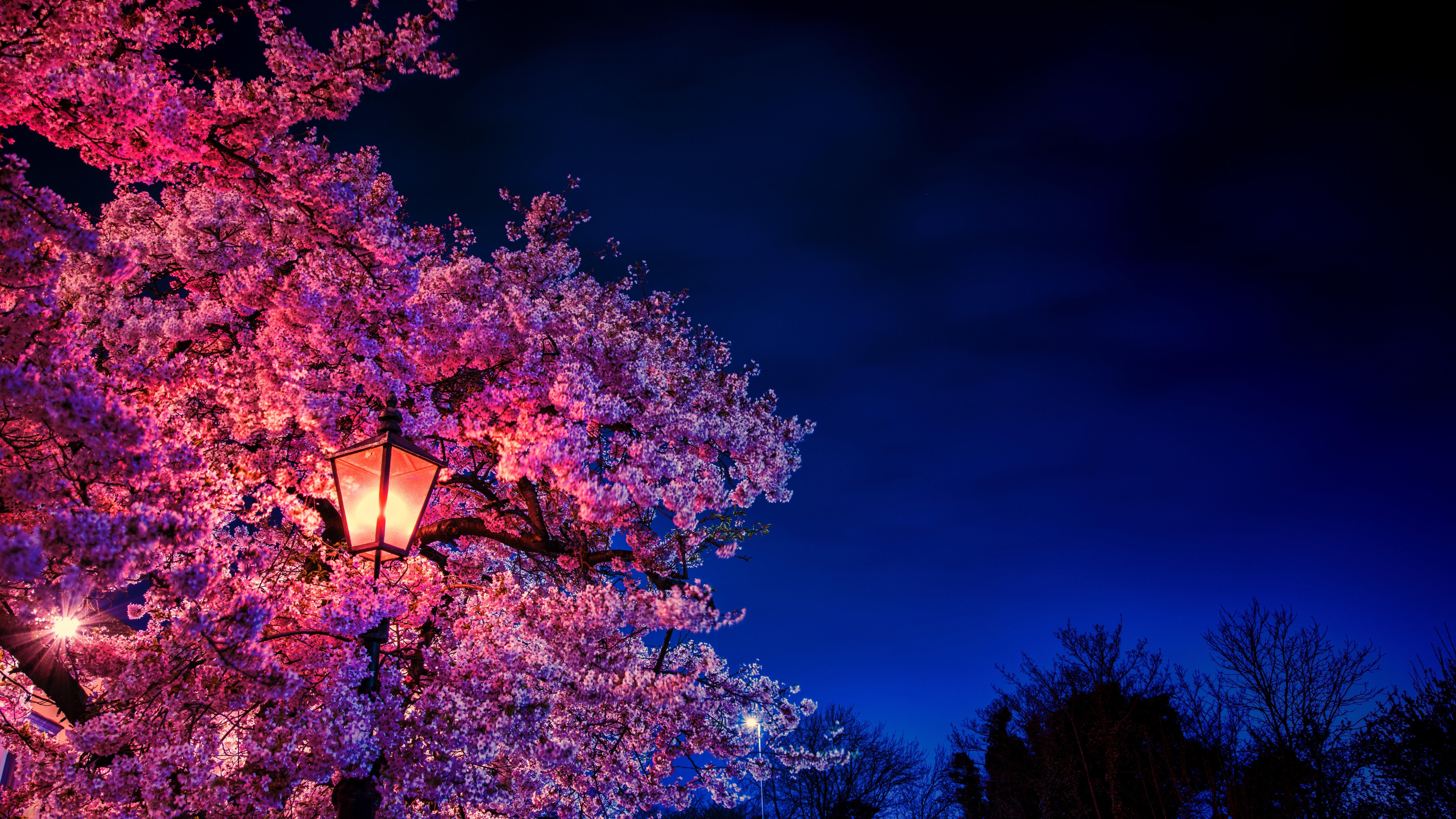 Fondos de pantalla Cerezo a la luz de la noche