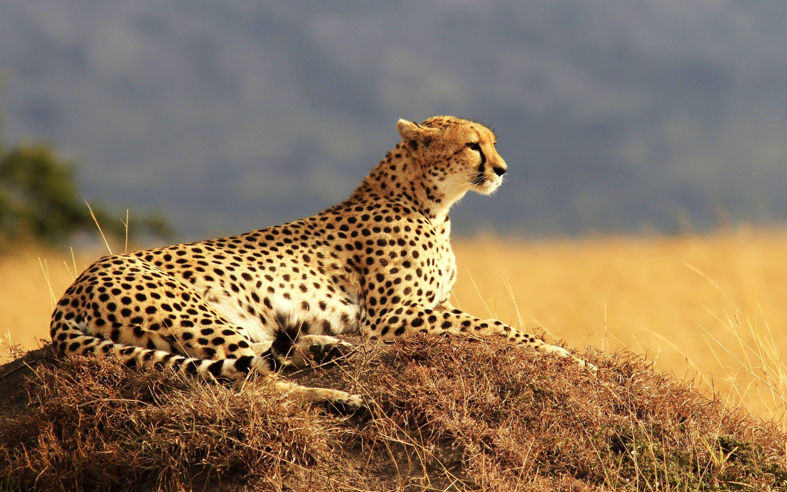 Fondo de pantalla de Chita en Africa Imágenes