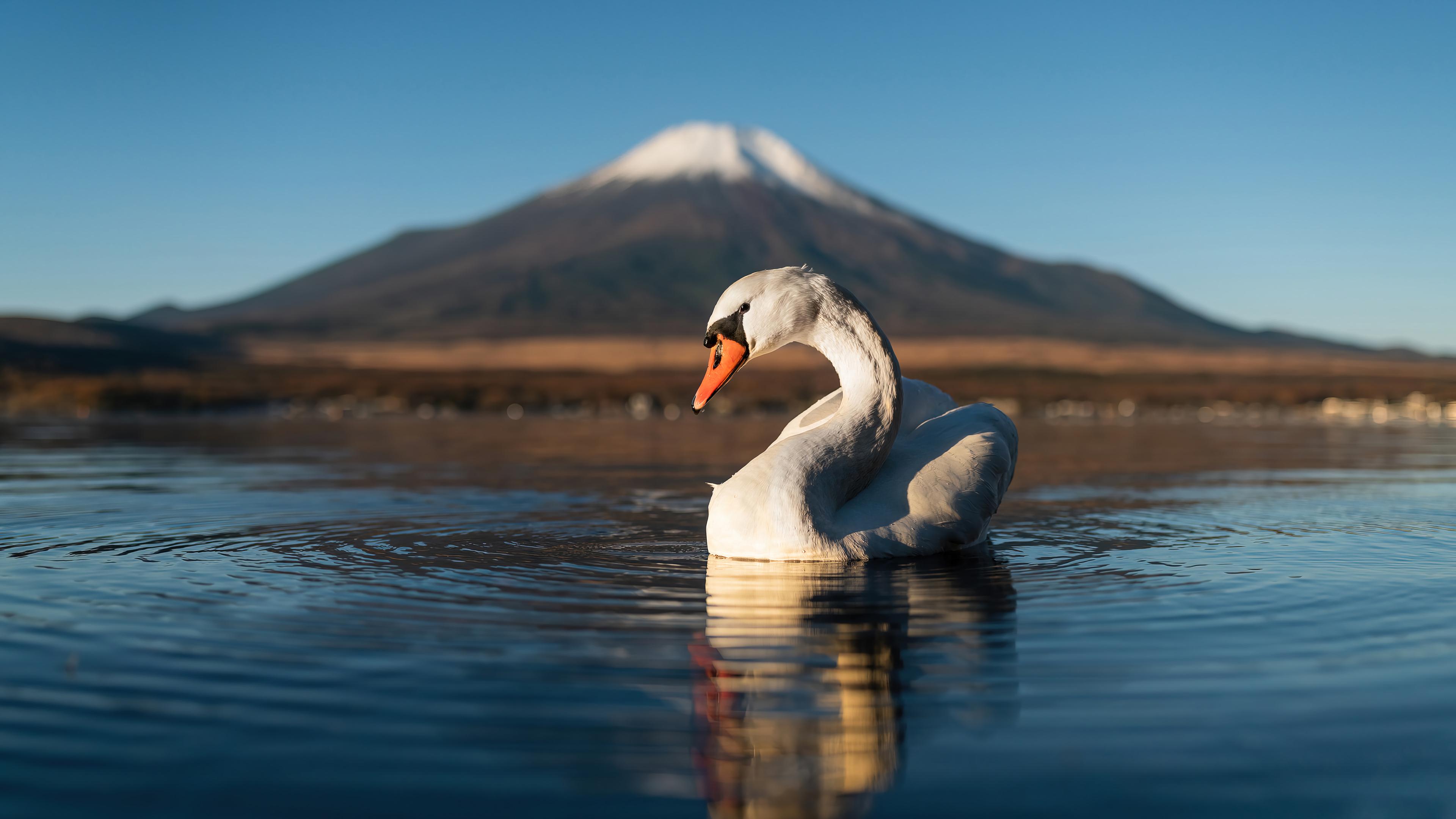 Wallpaper Swan in lake next to mountain