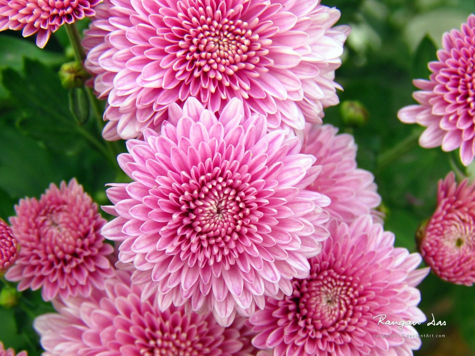 Fondos de pantalla Crisantemos