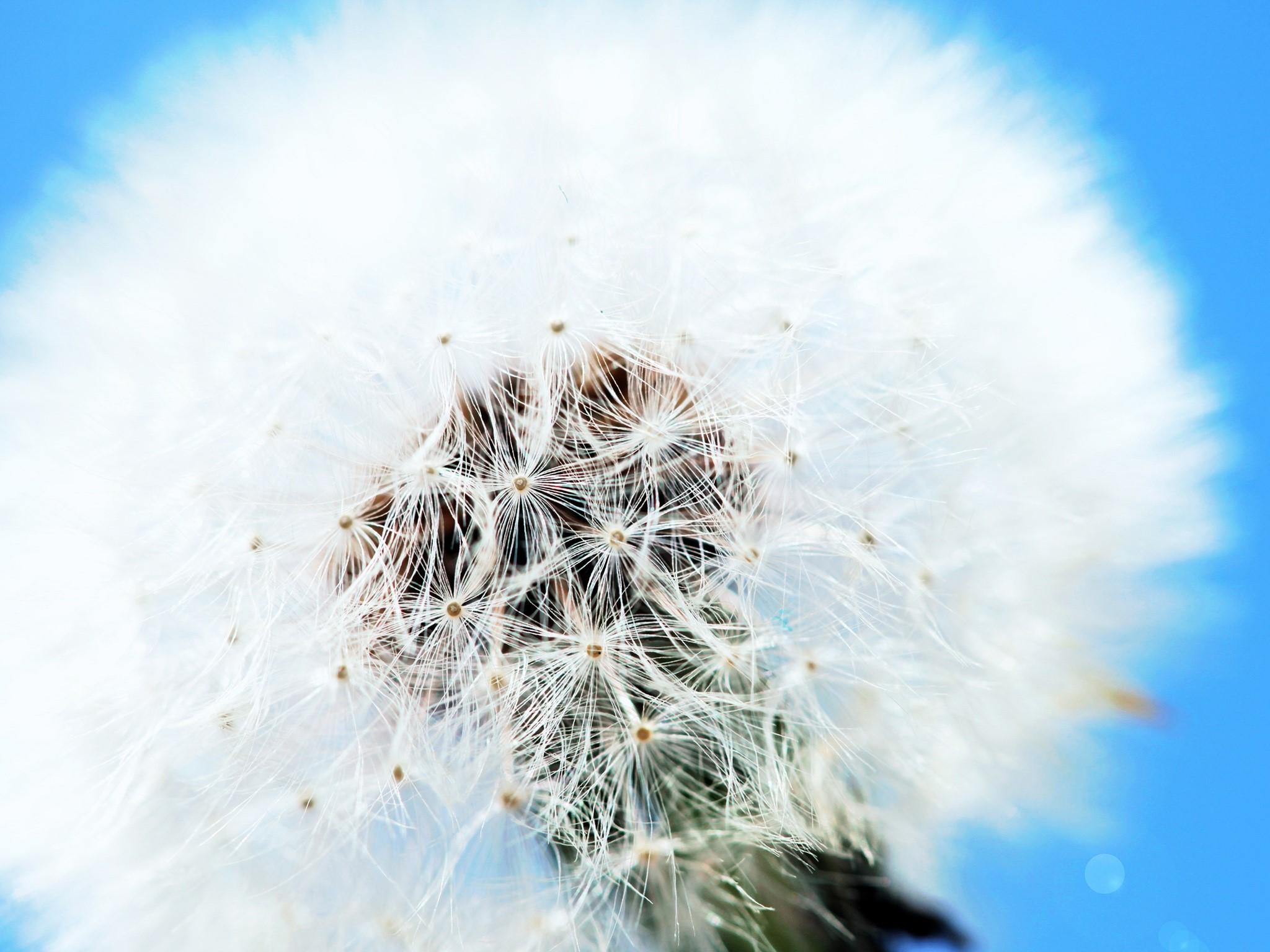 Wallpaper White dandelion
