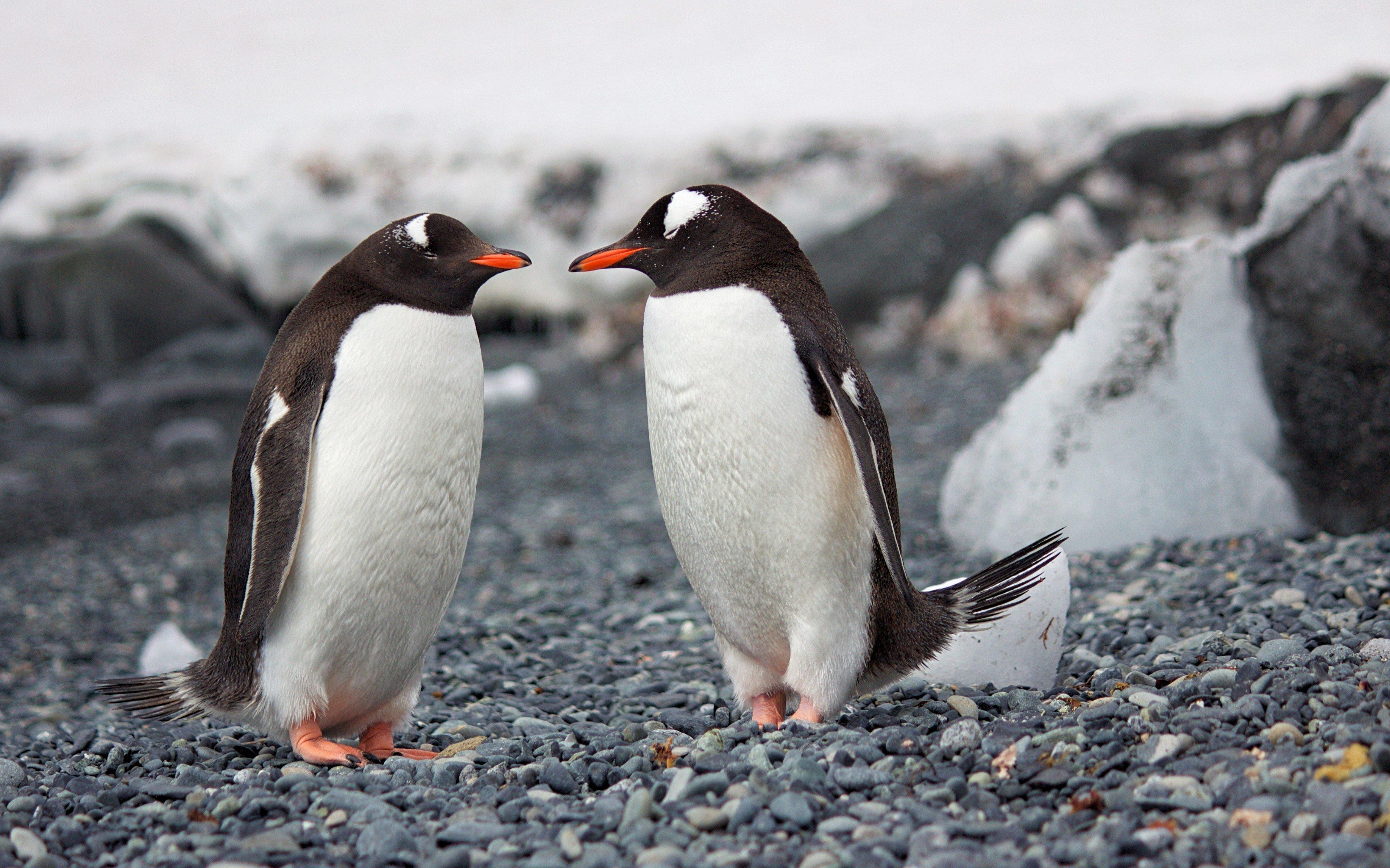 Fondos de pantalla Dos pingüinos