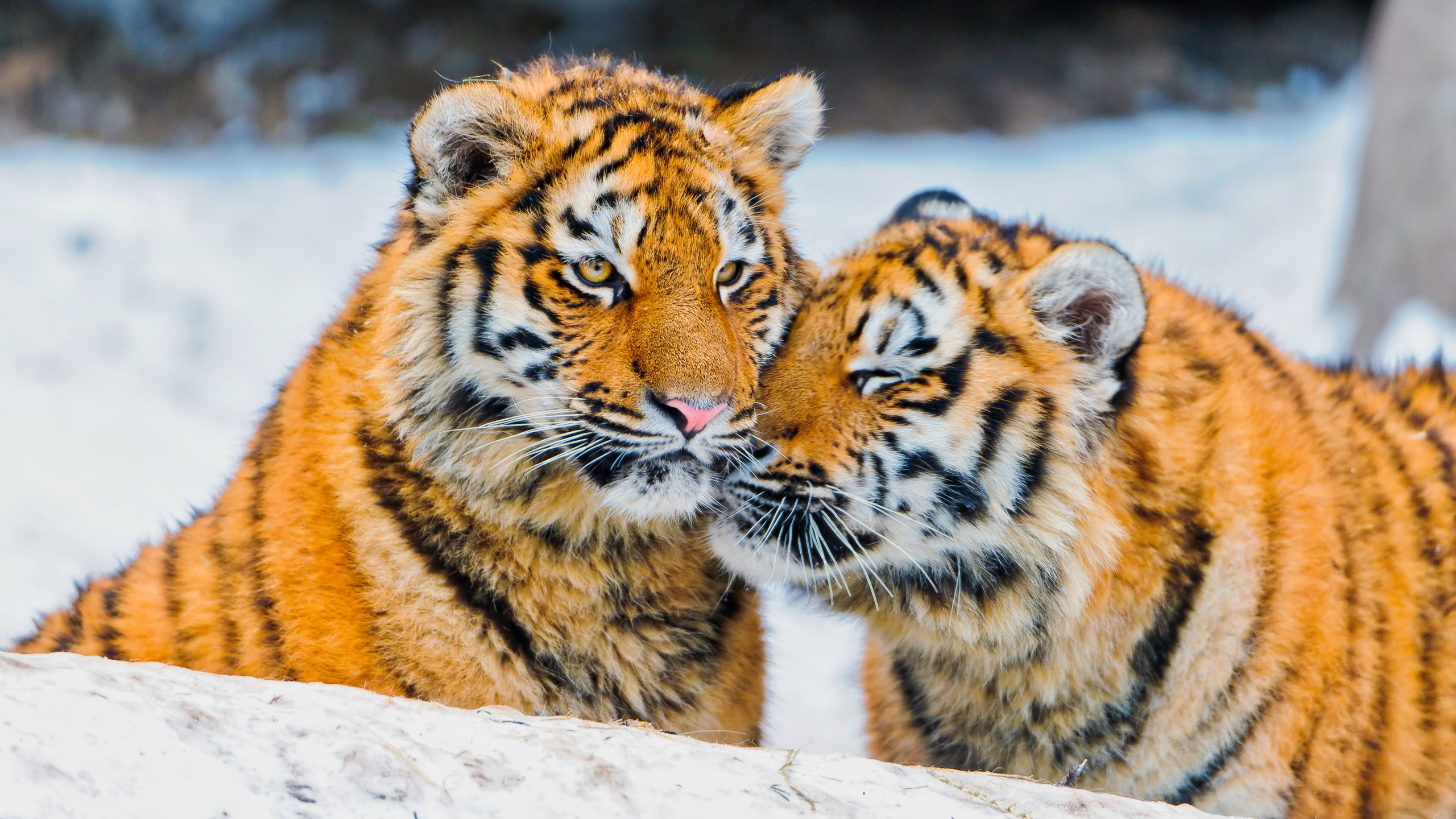 Wallpaper Two tigers