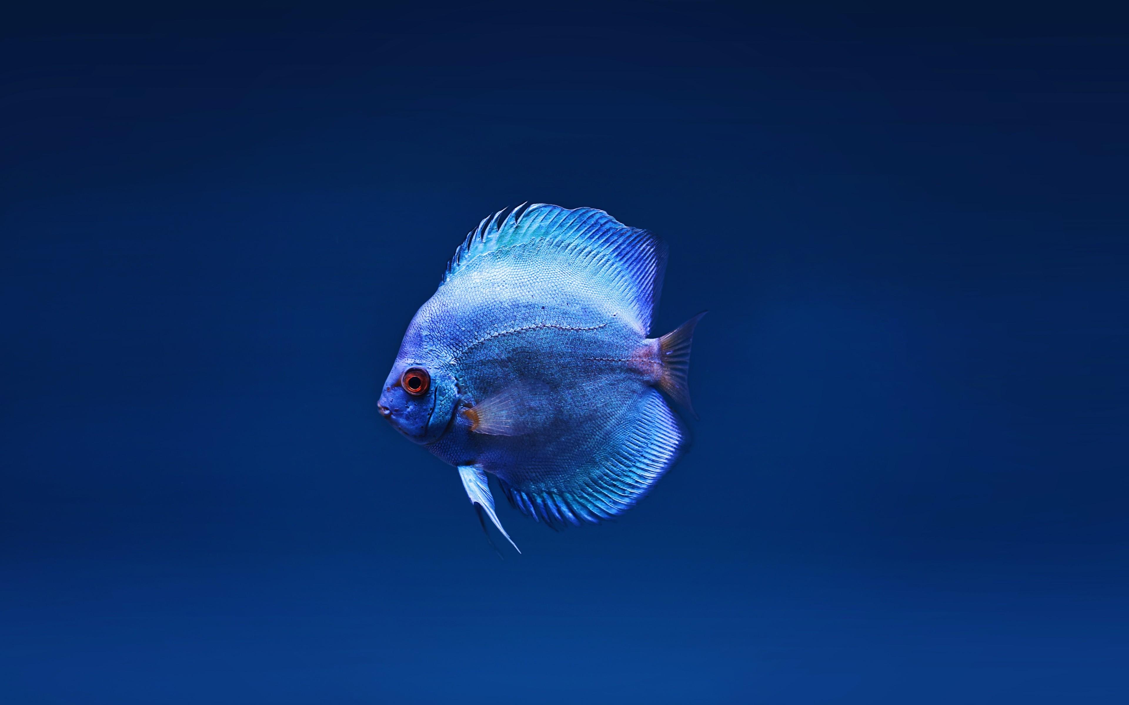 Fondos de pantalla El pez disco azul