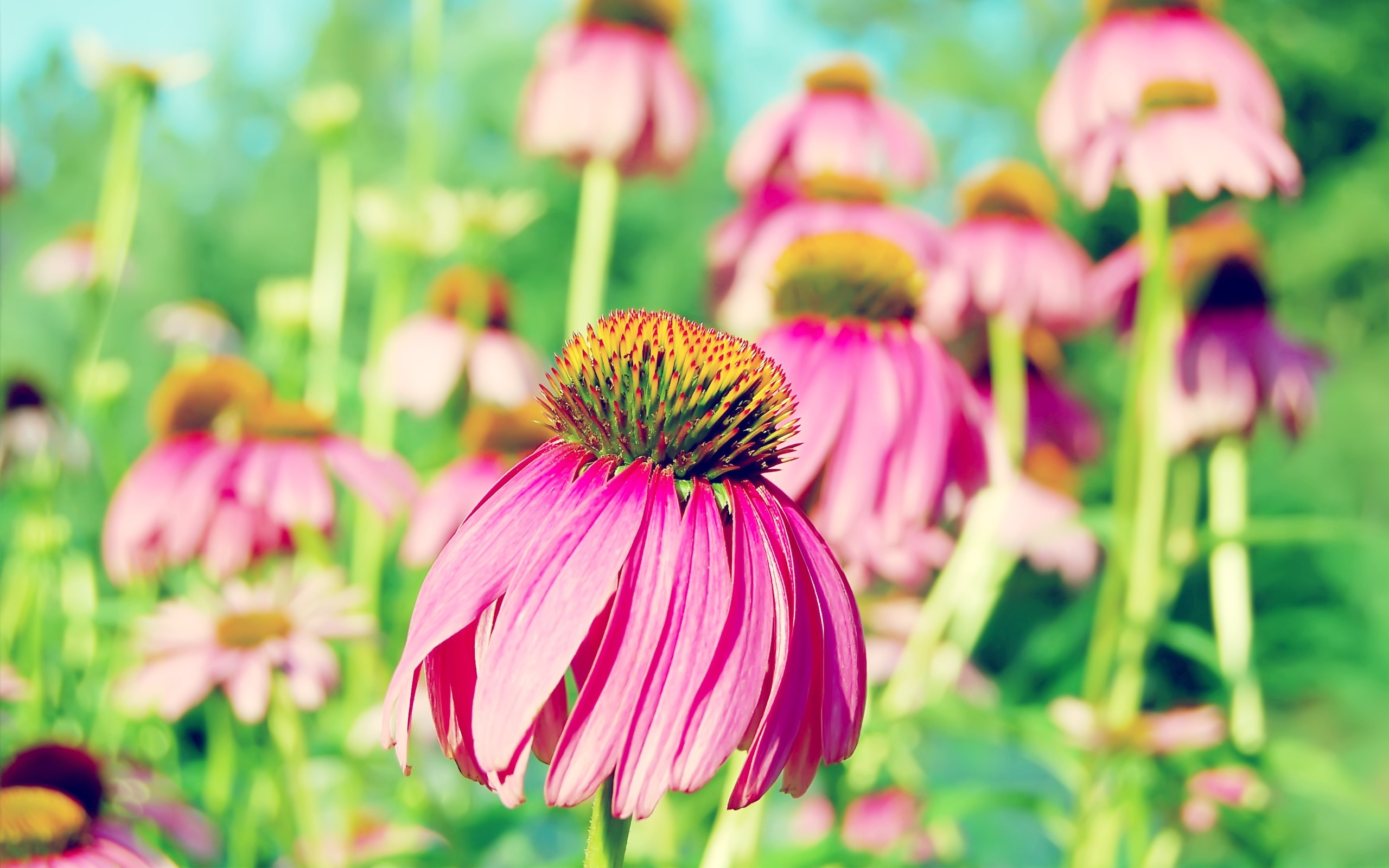 Wallpaper Purple echinacea