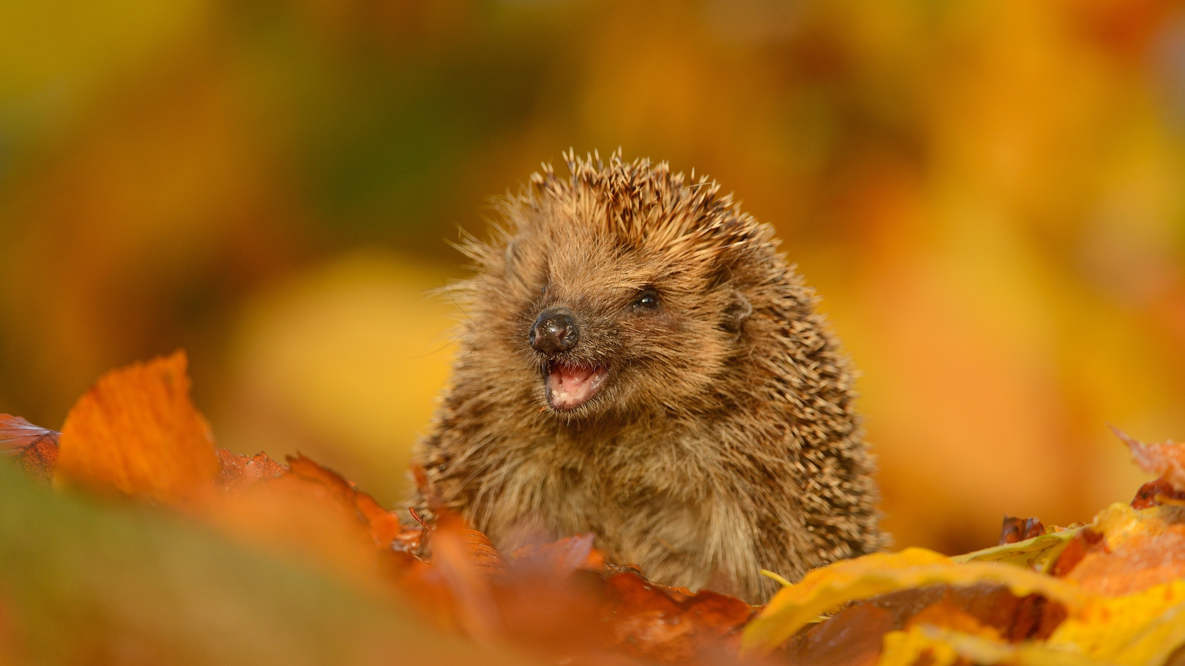 Wallpaper Hedgehog in autumn
