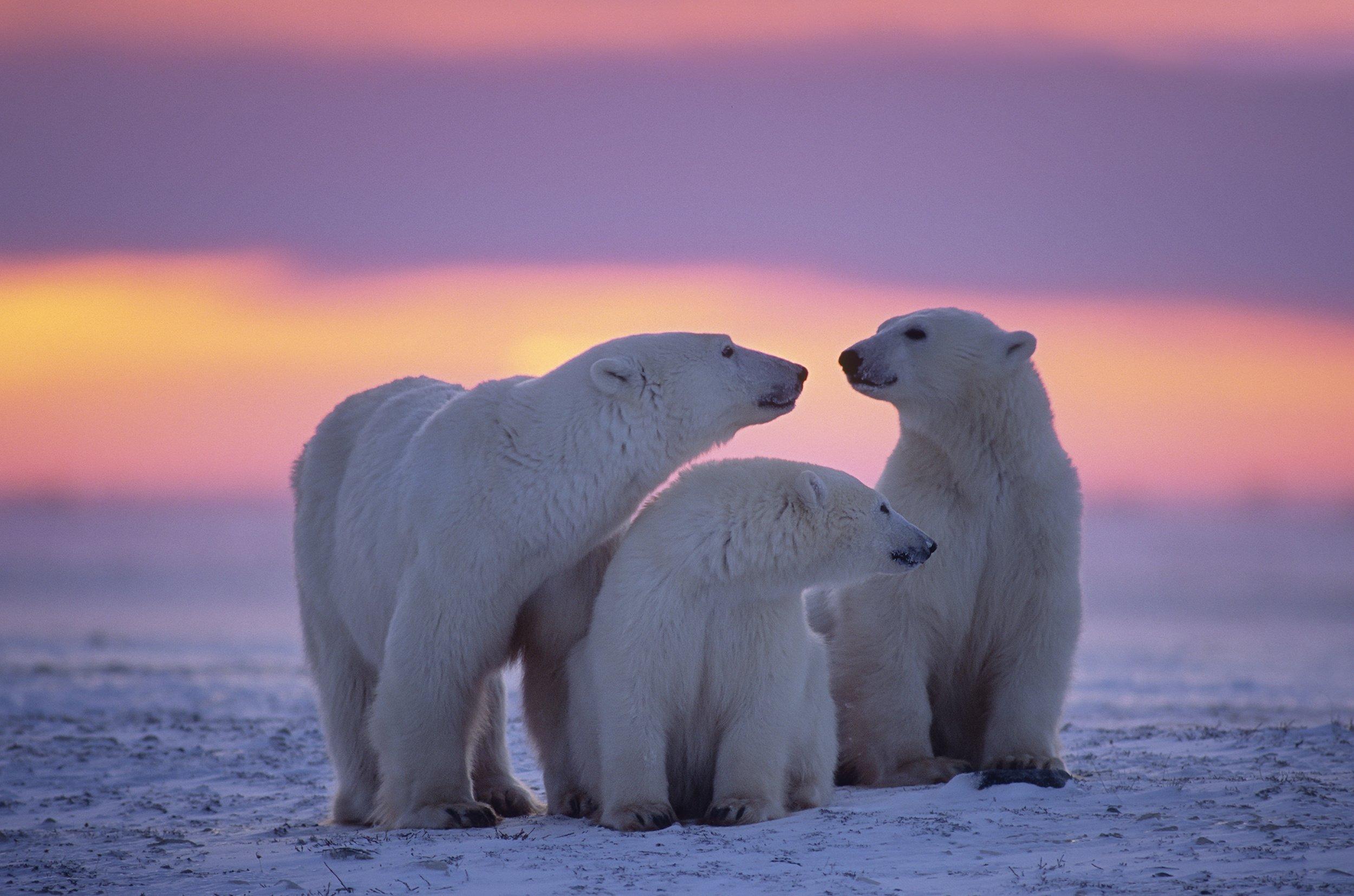Fondos de pantalla Familia de osos polares