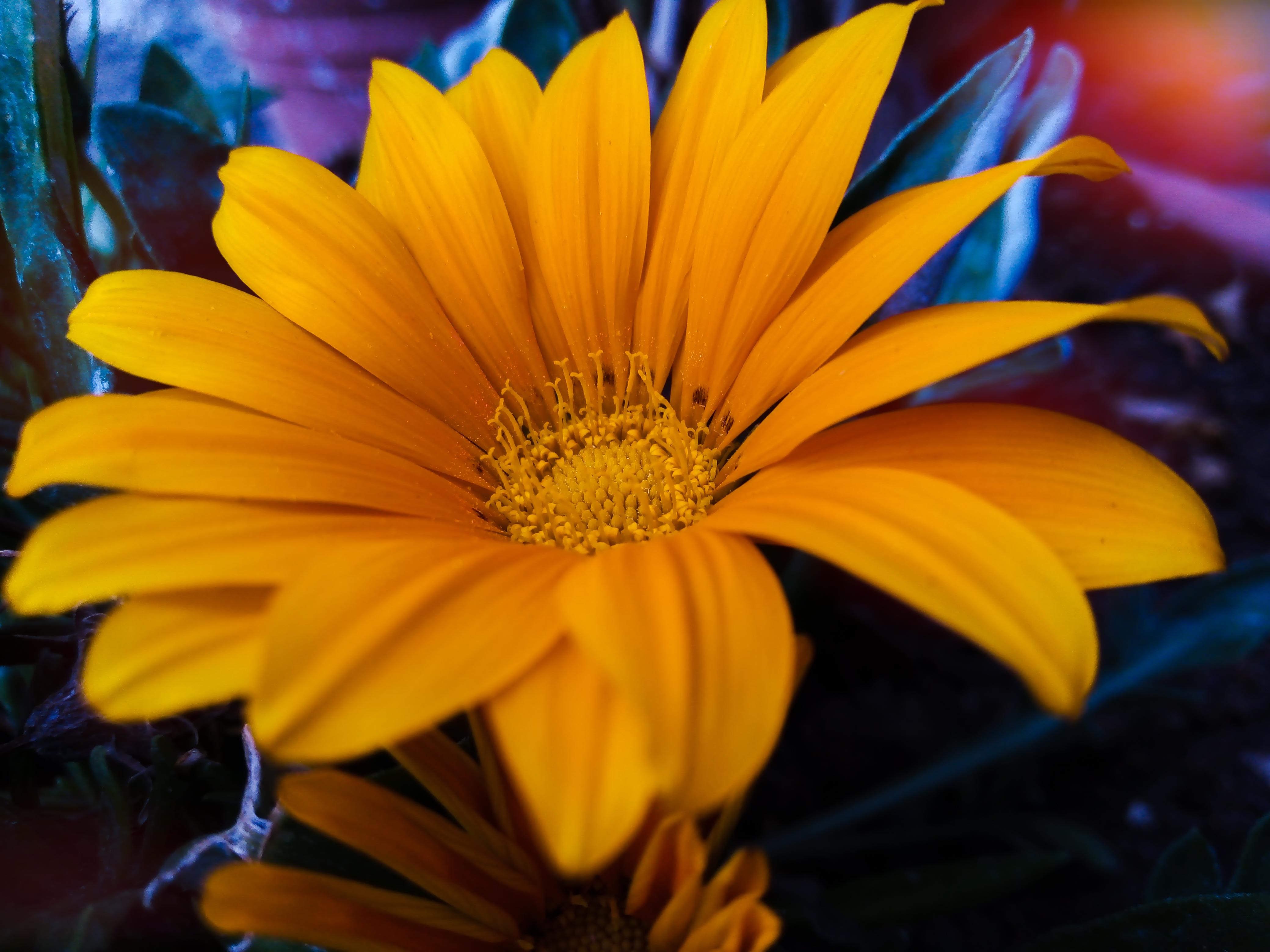 Wallpaper Yellow Gazania Flower