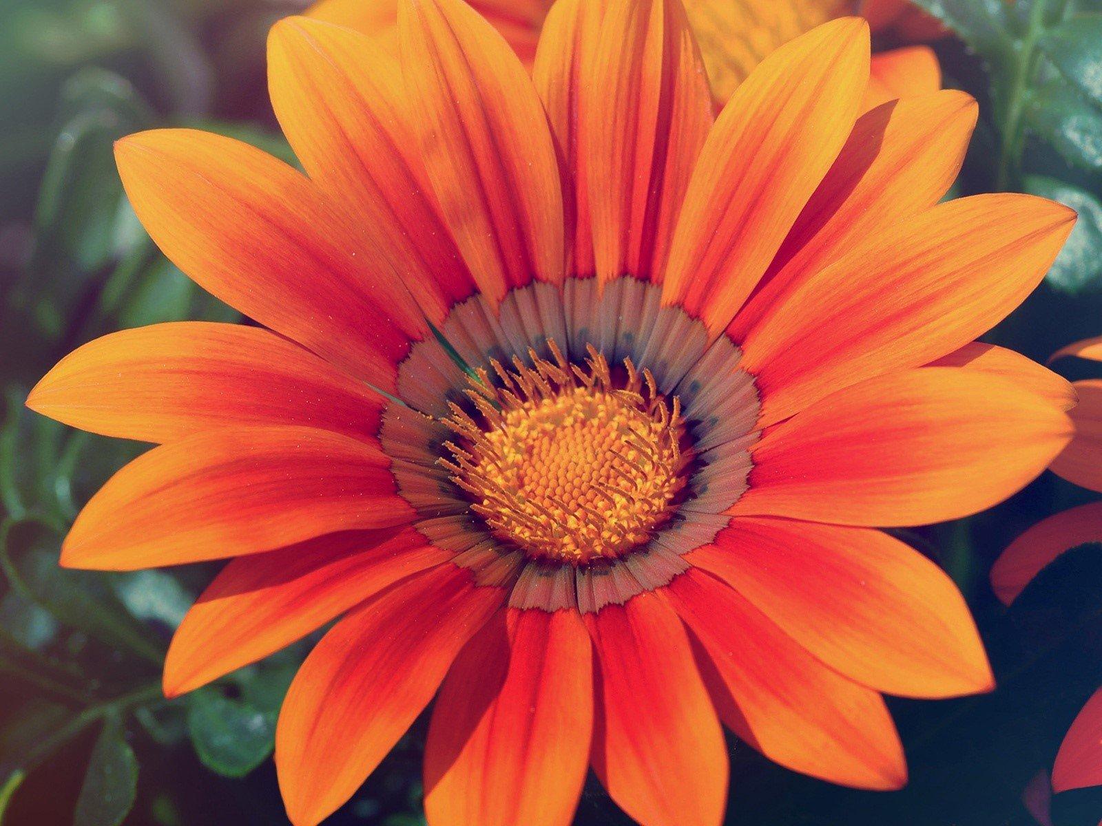 Wallpaper Orange flower