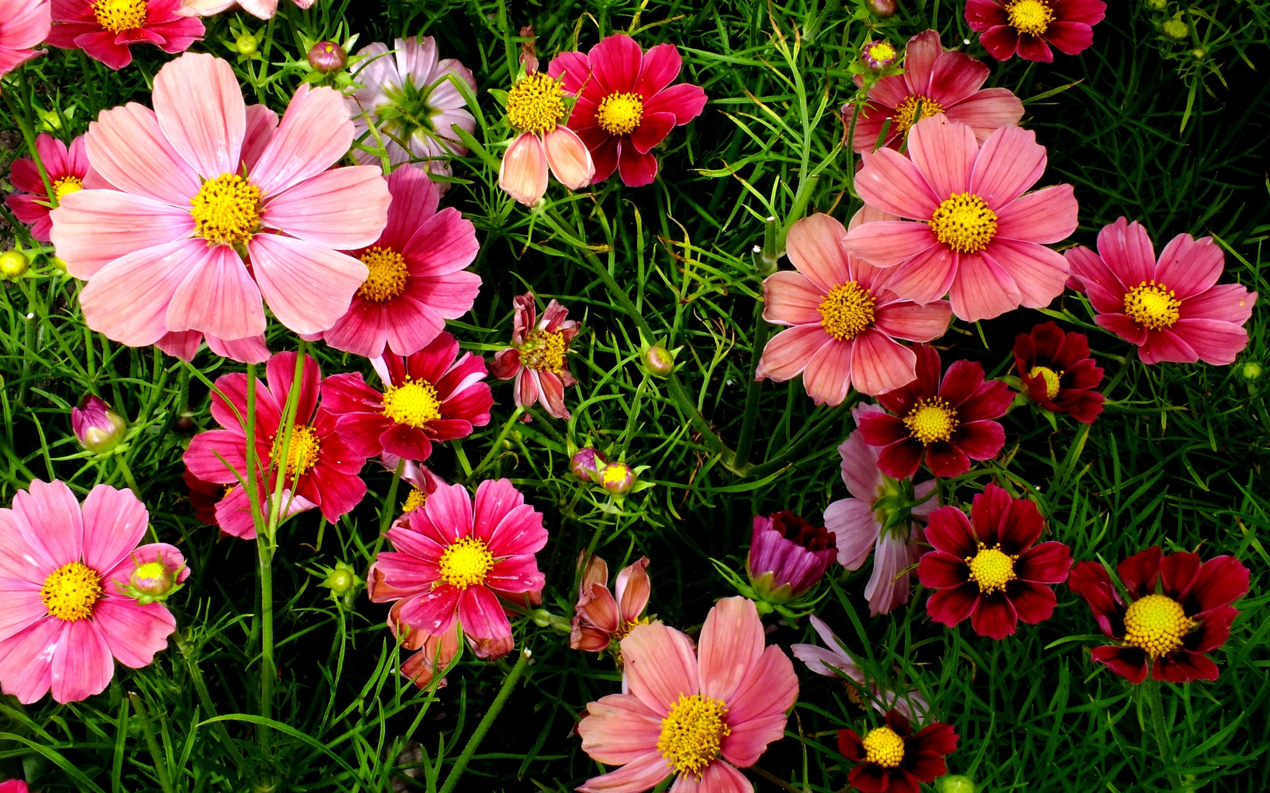 Wallpaper Roses cosmos flowers