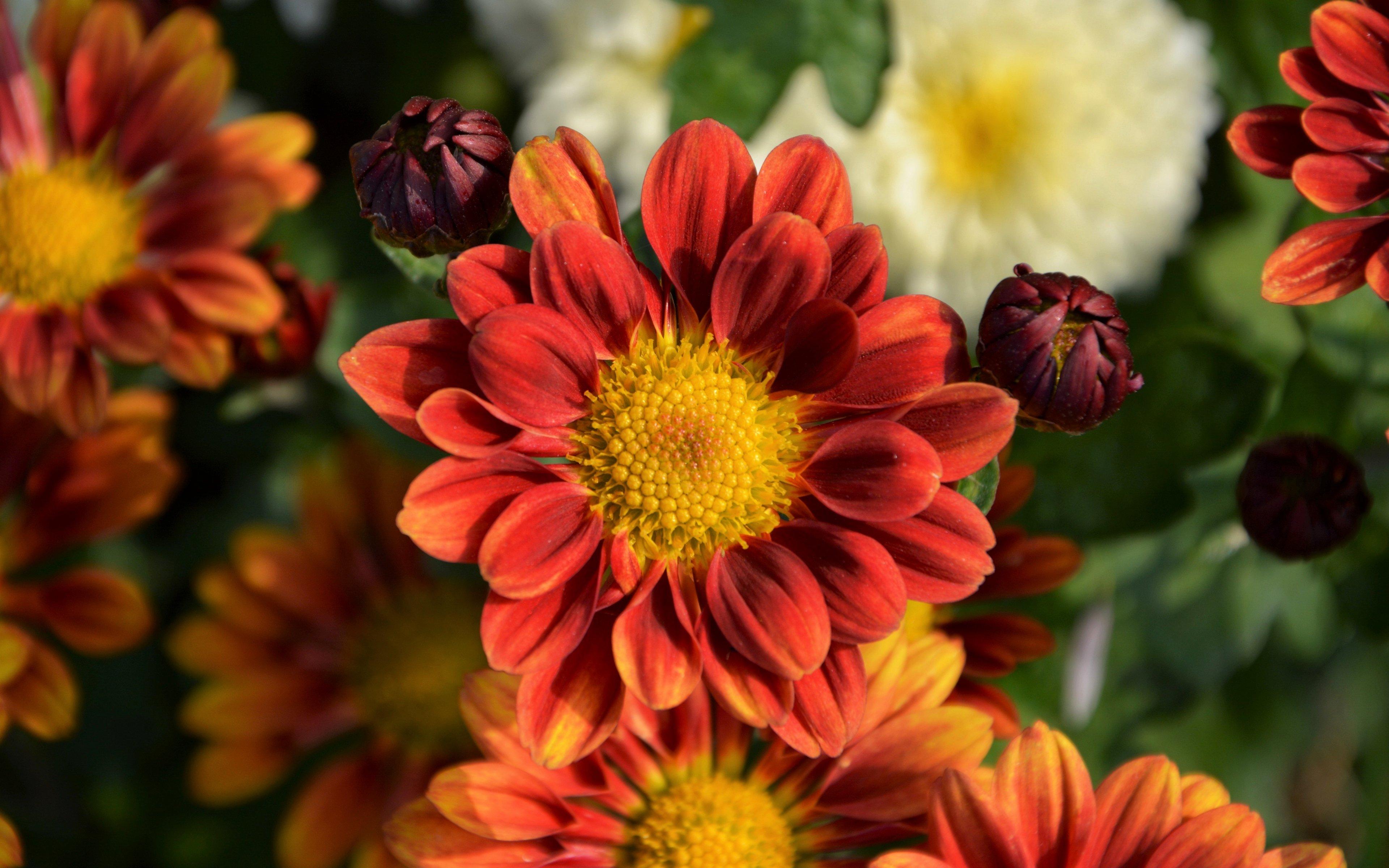 Fondos de pantalla Flores Crisantemos