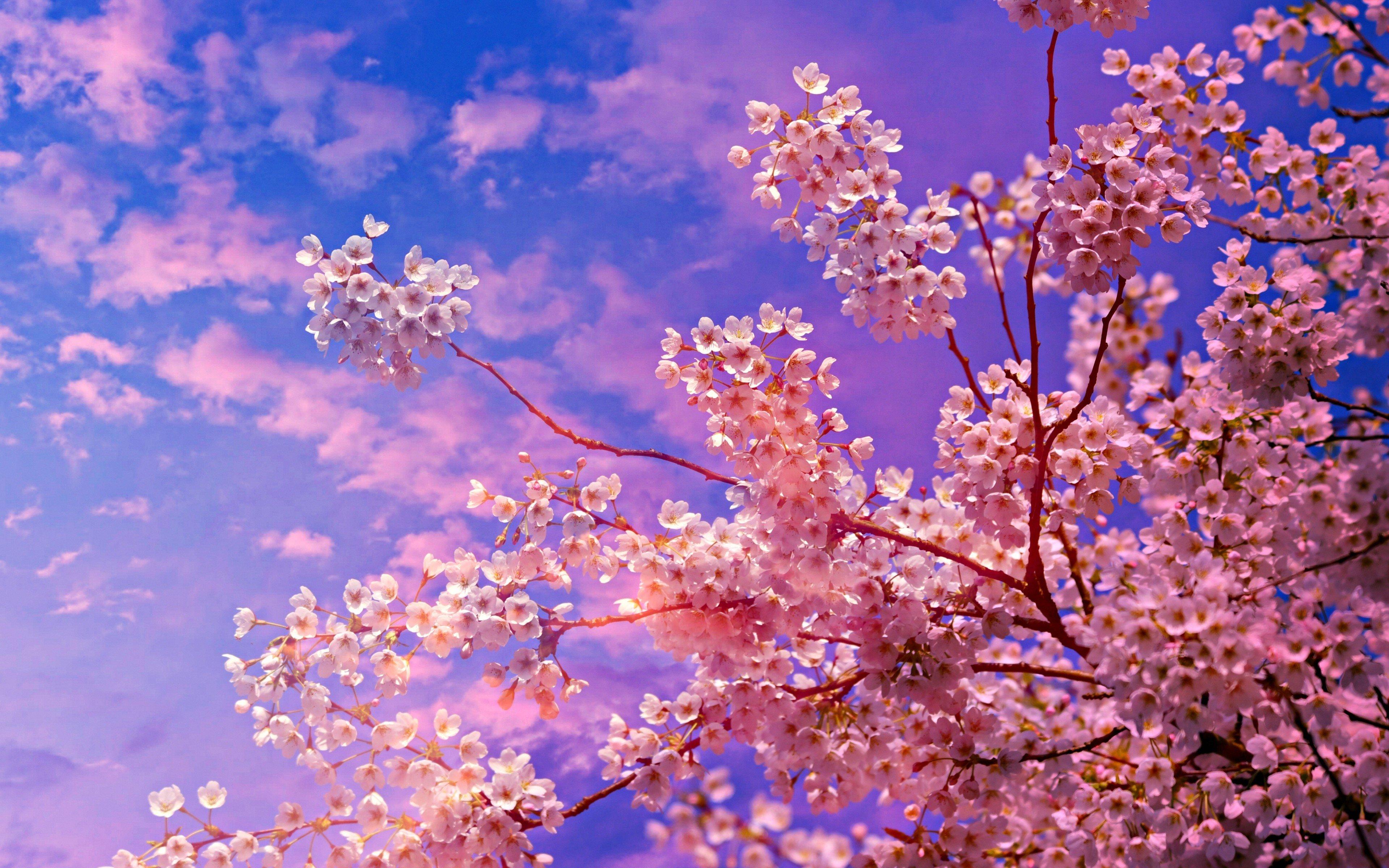 Fondos de pantalla Flores de cerezo