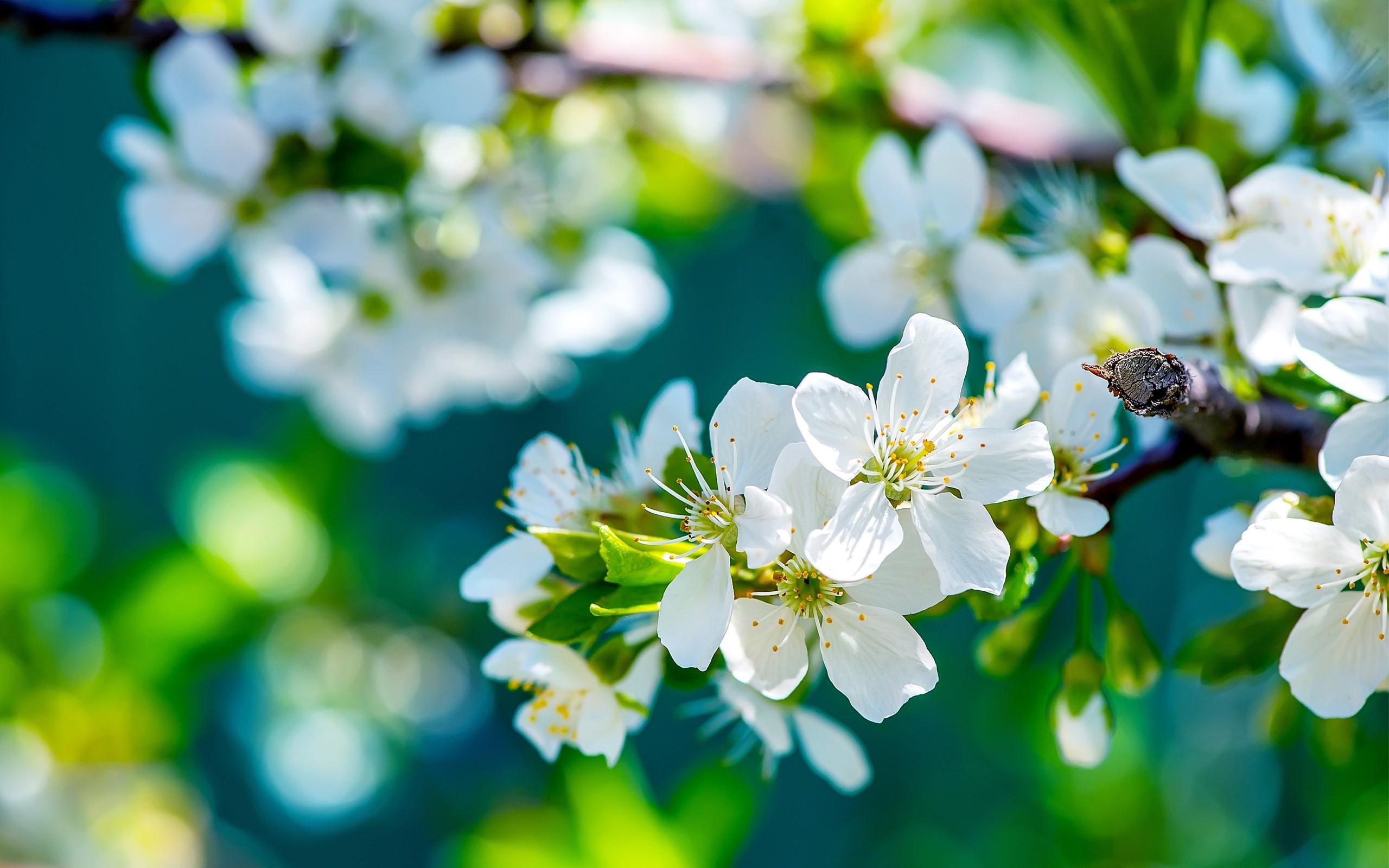 Wallpaper Flowers of an apple tree