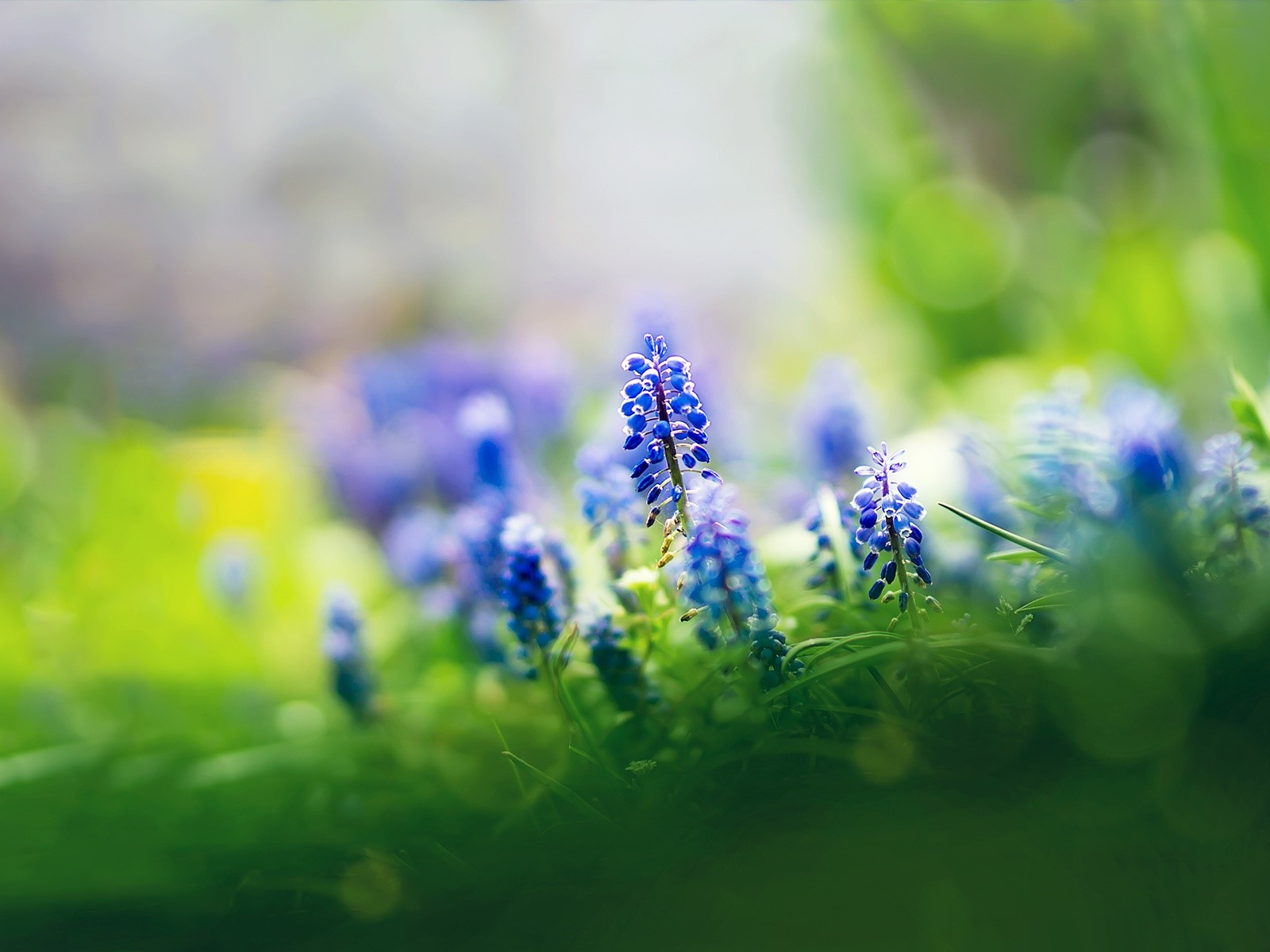 Wallpaper Muscari flowers