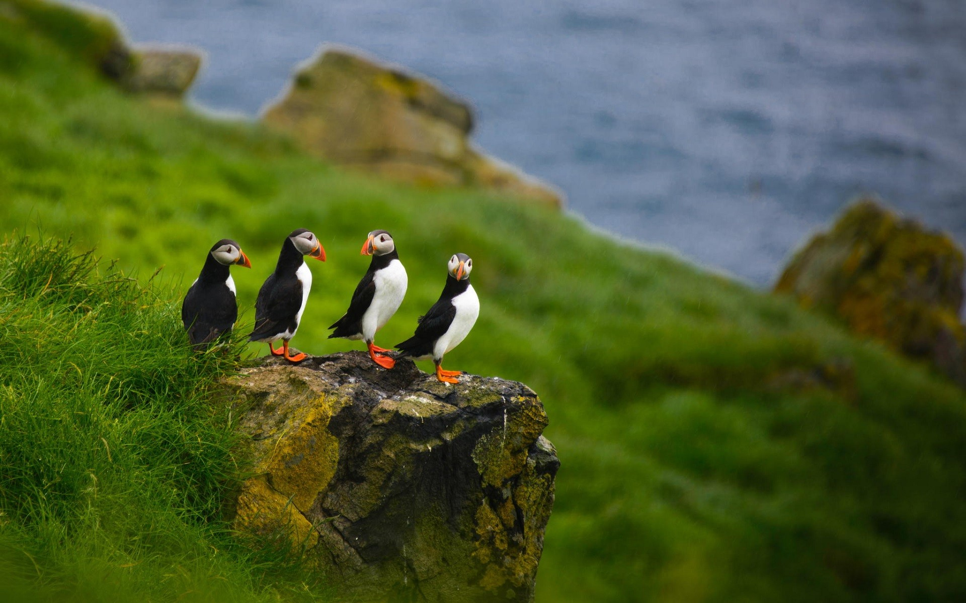 Wallpaper Group of puffins