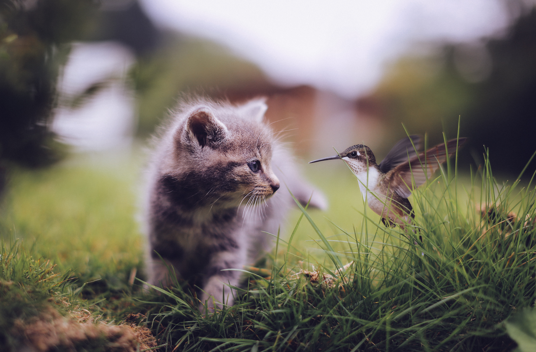 Fondos de pantalla Gato con colibrí
