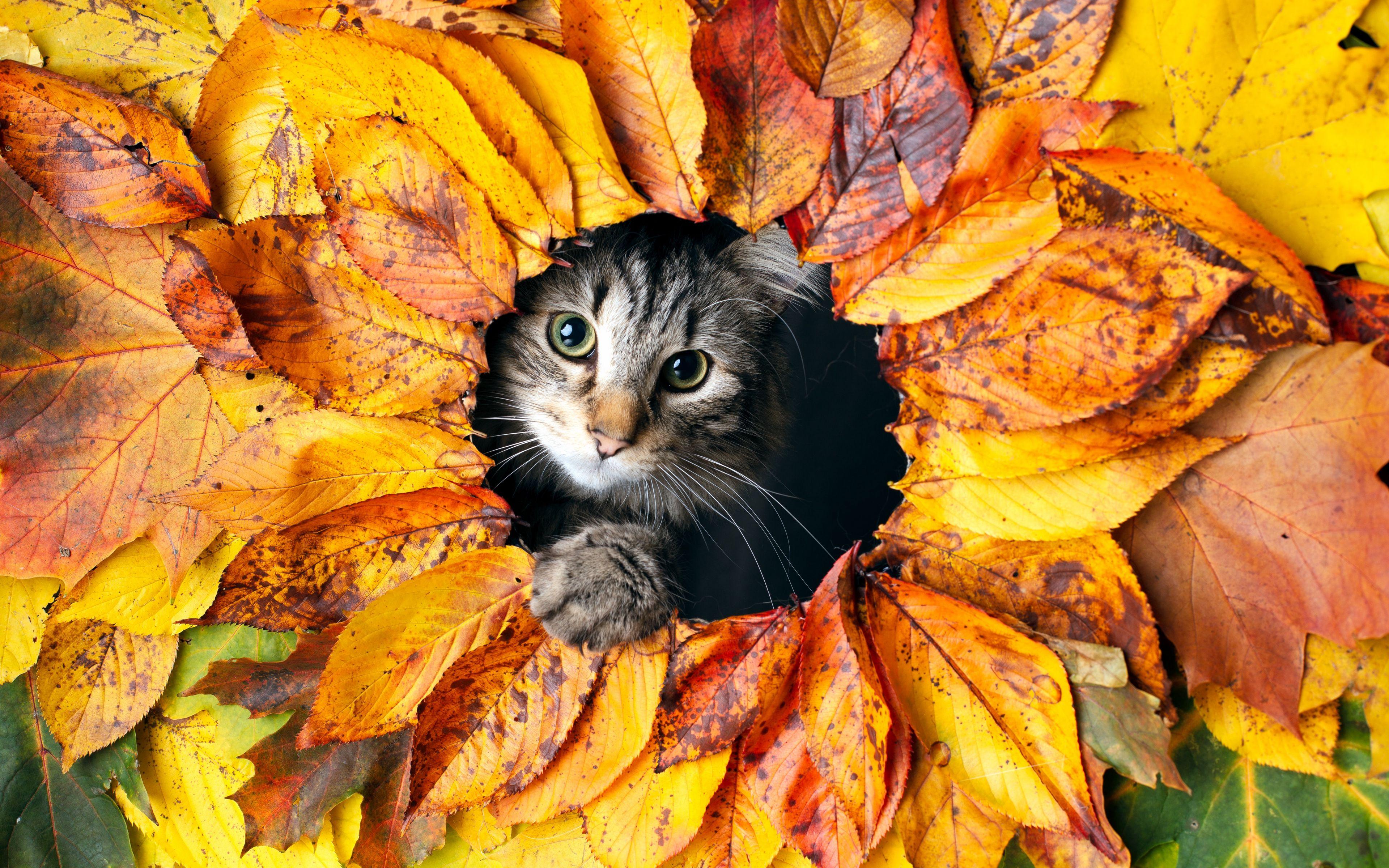 Fondos de pantalla Gato entre hojas de otoño