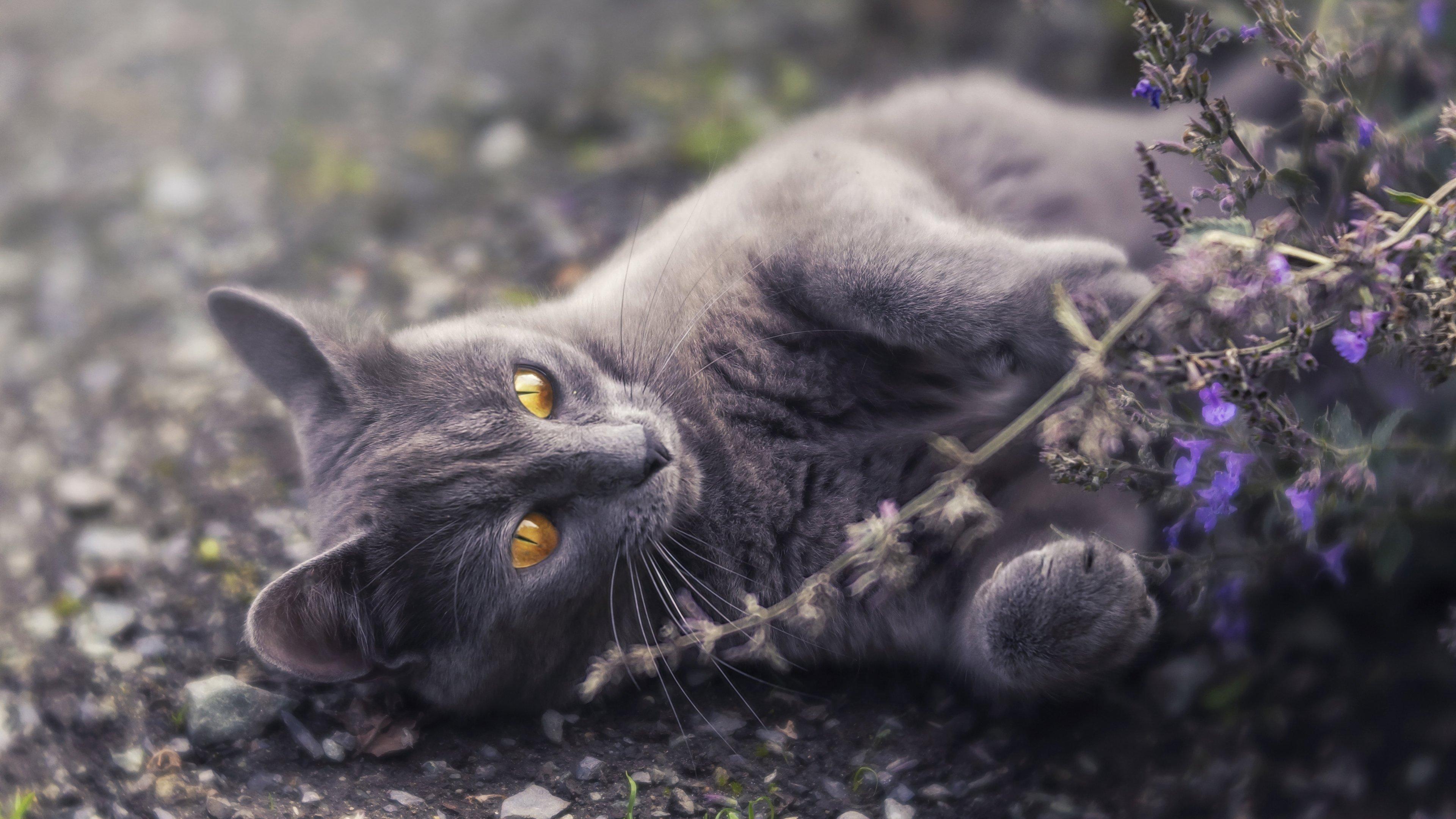 Fondos de pantalla Gato gris