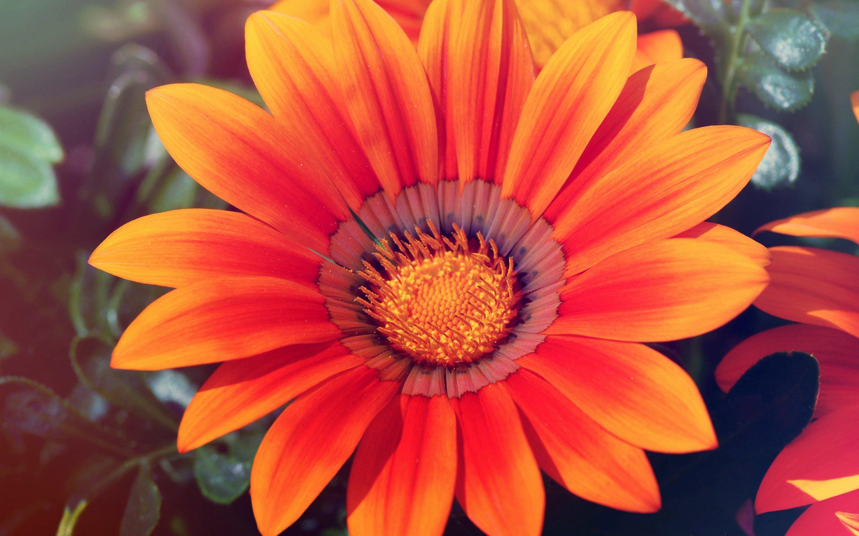 Wallpaper Sunflower in spring