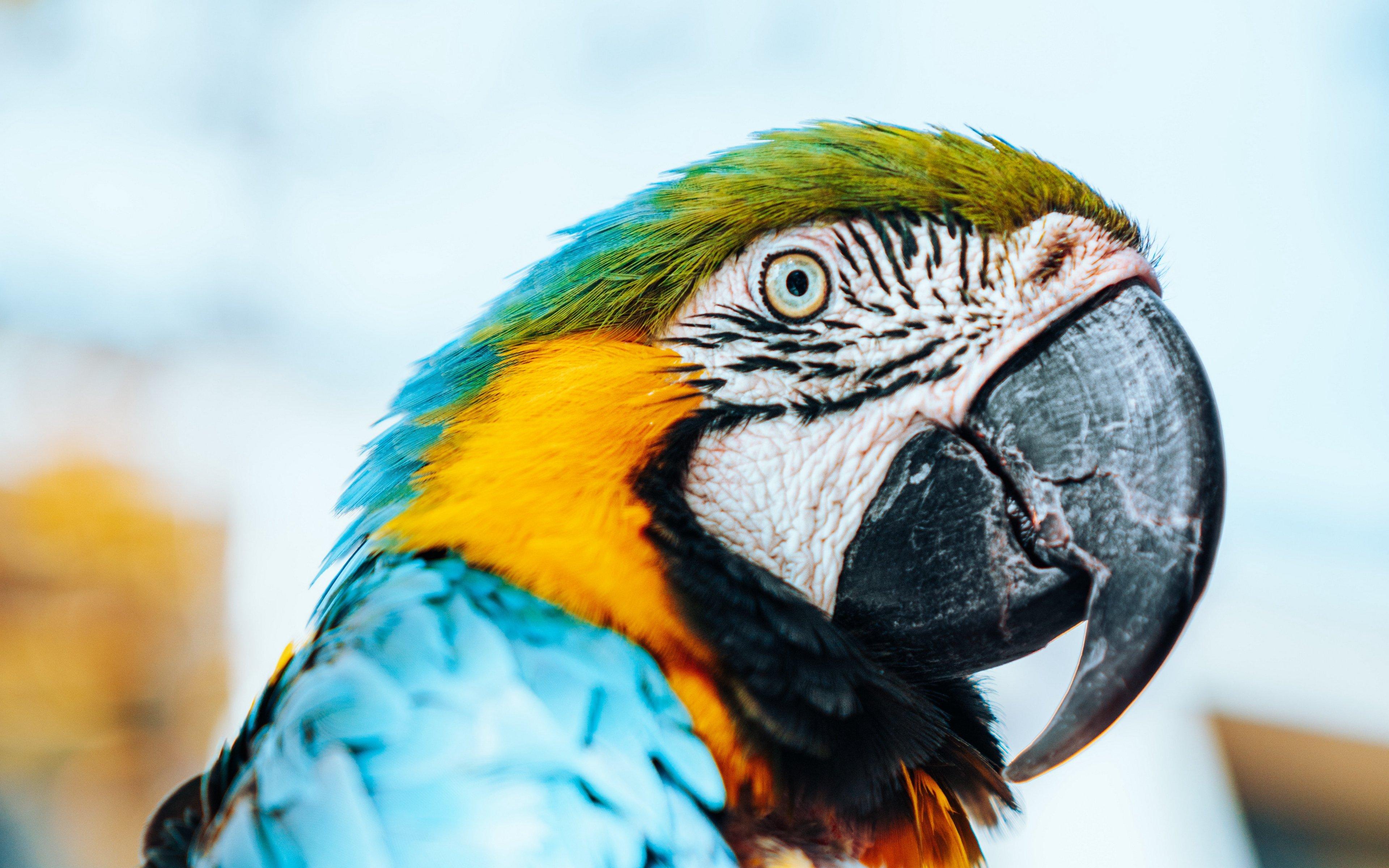 Wallpaper Macaw Parrot Bird
