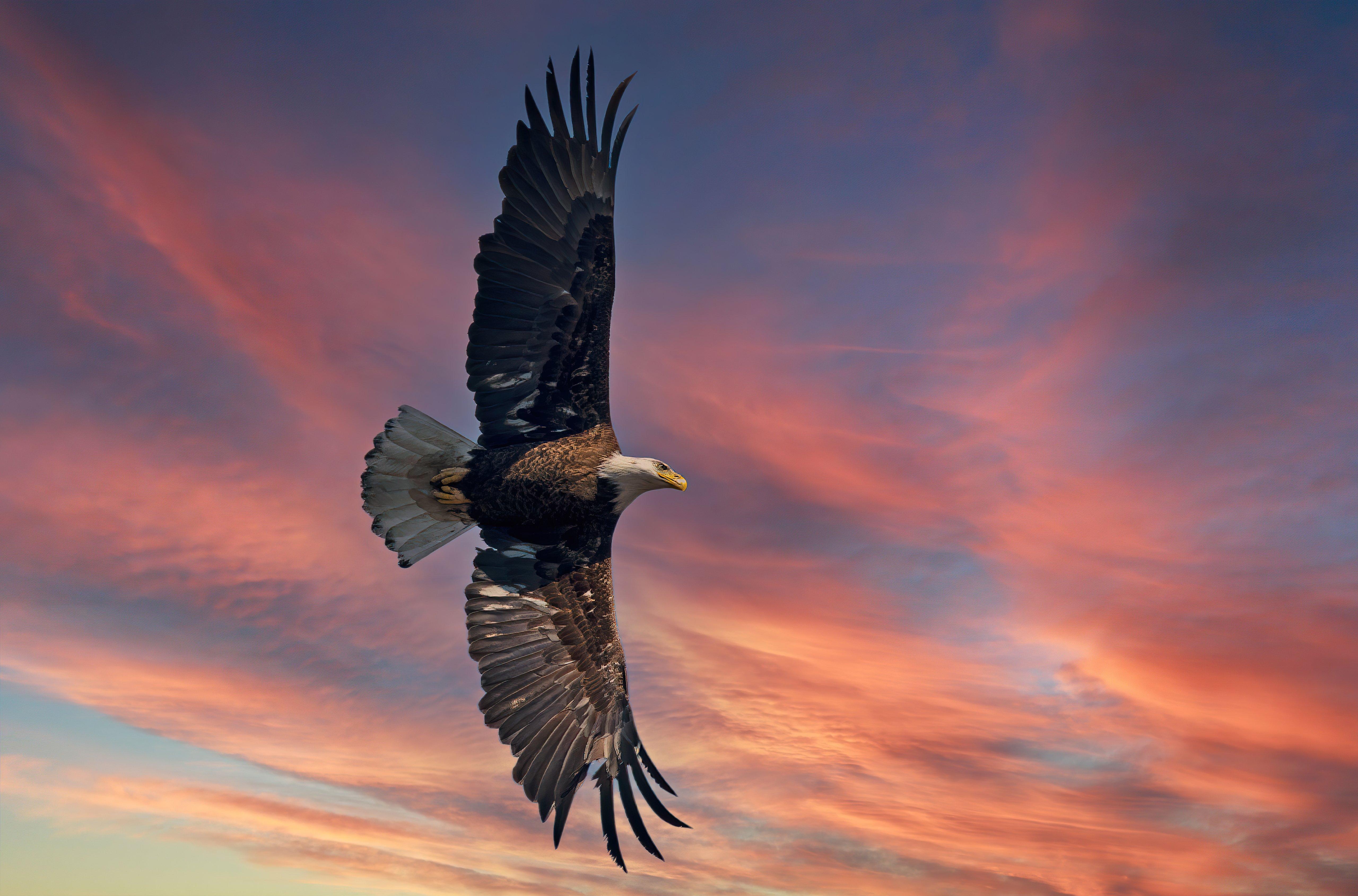 Fondos de pantalla Águila calva con alas abiertas