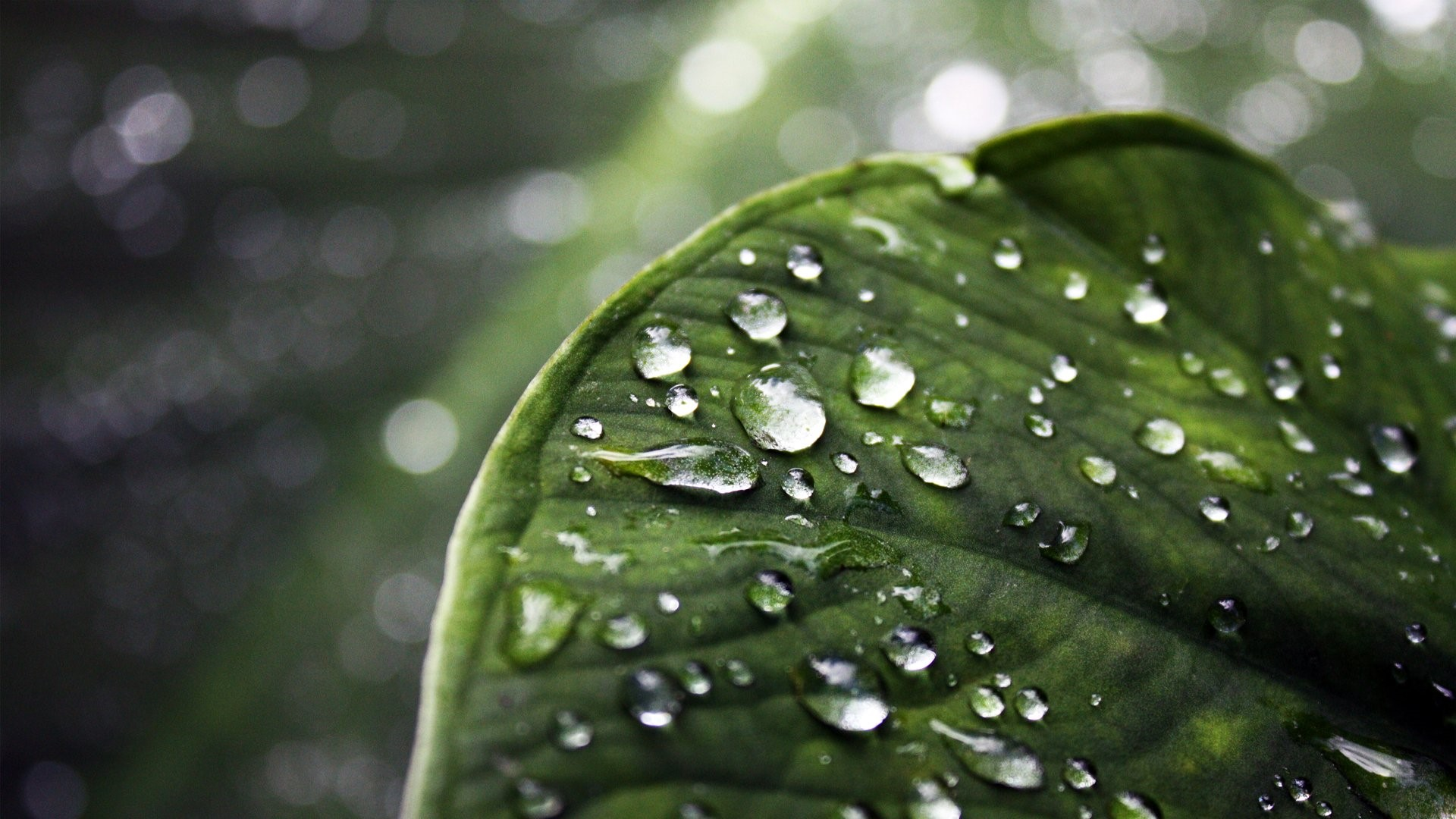 Wallpaper Leaf with water drops
