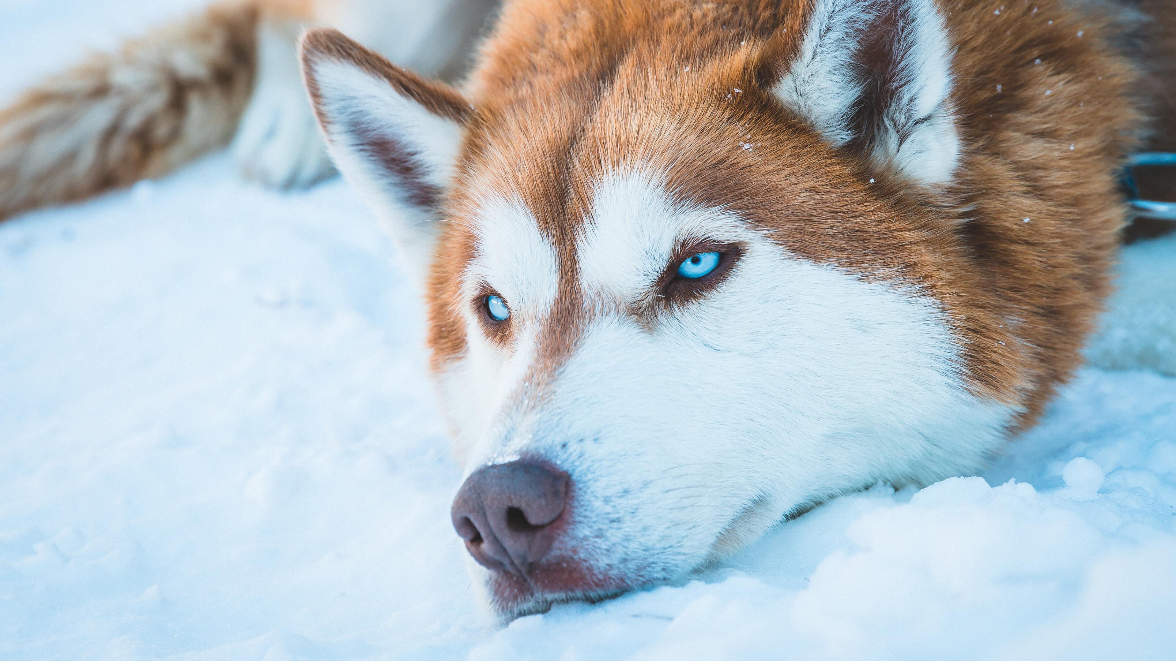 Wallpaper Siberian Husky in the snow