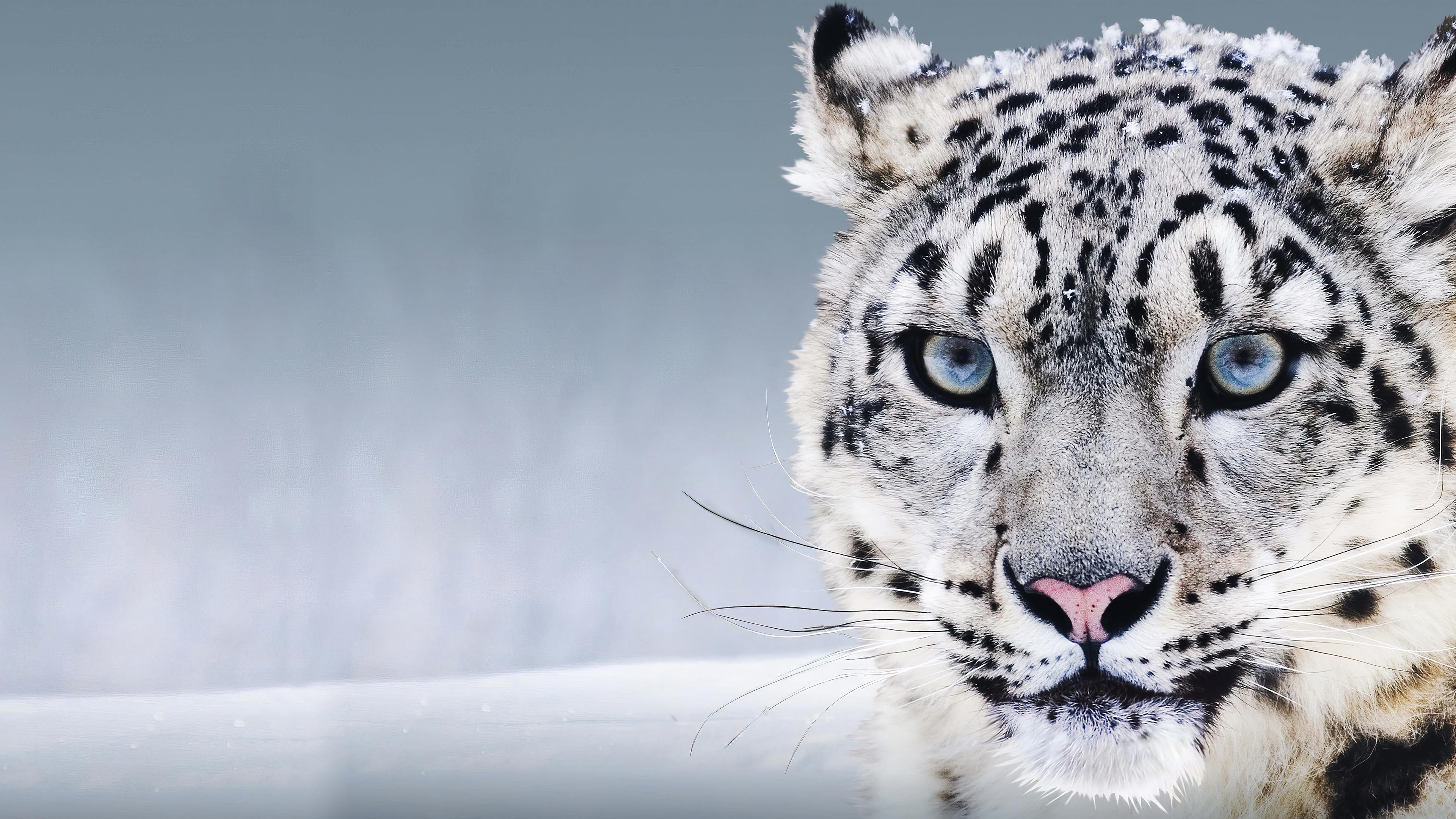 Fondos de pantalla Leopardo blanco en la nieve