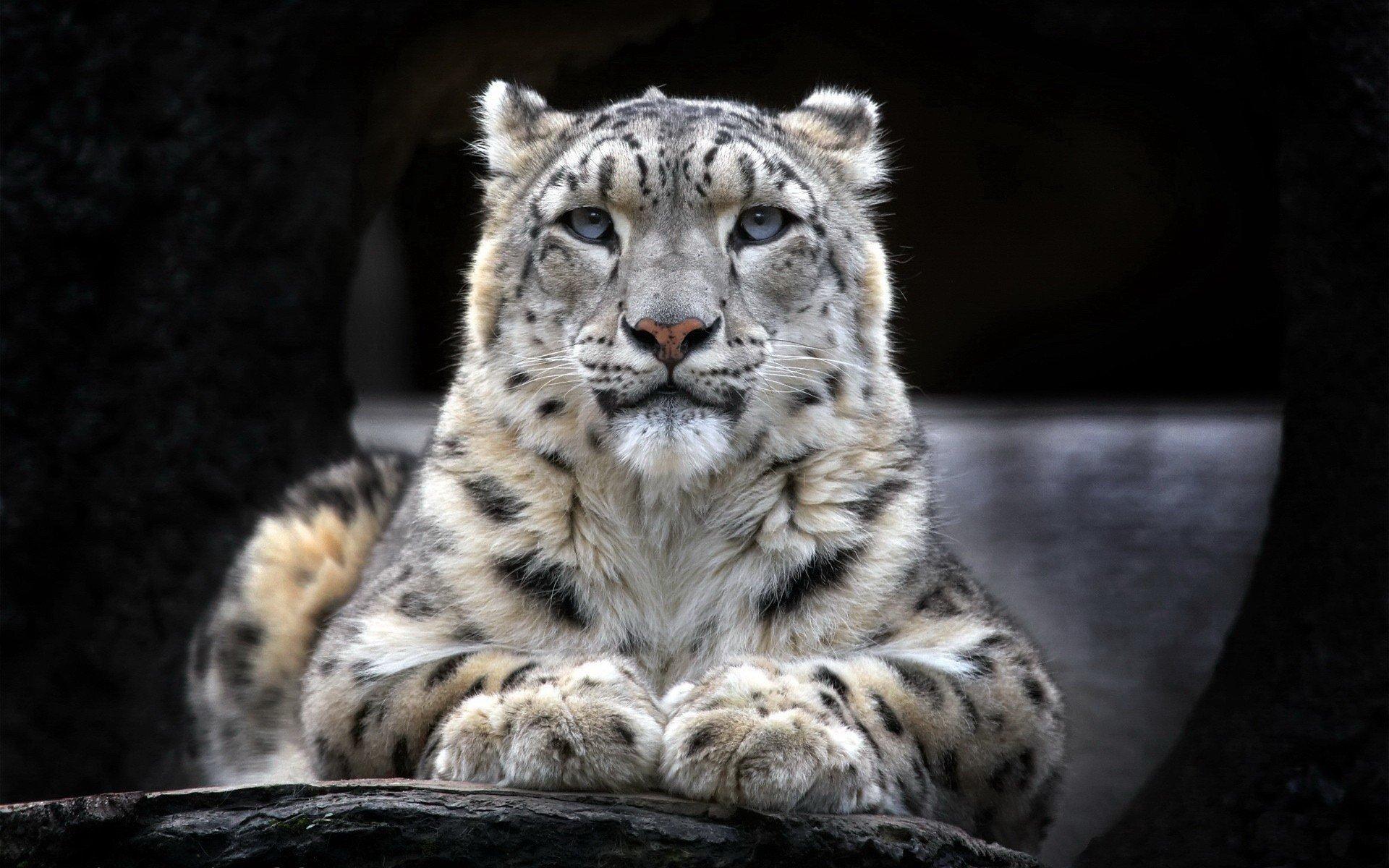Fondos de pantalla Leopardo de nieve