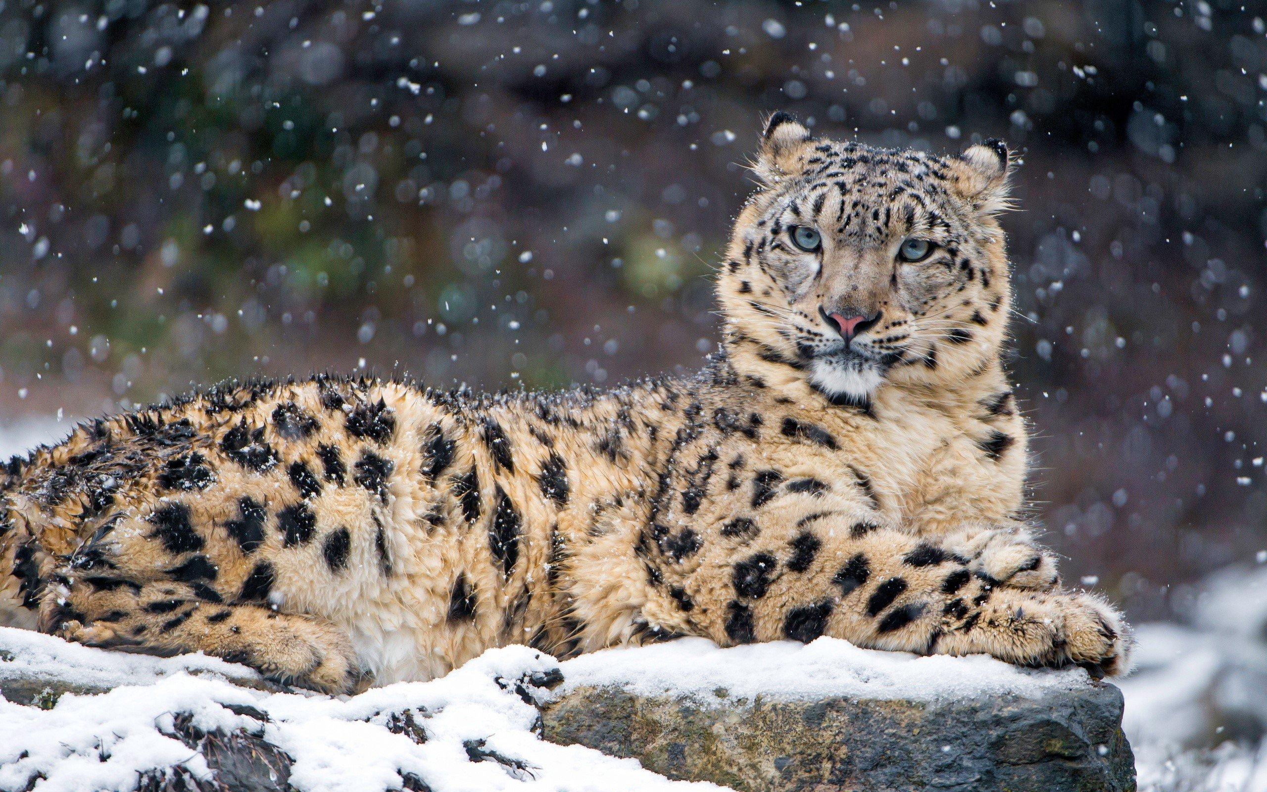 Fondo de pantalla de Leopardo en la nieve Imágenes