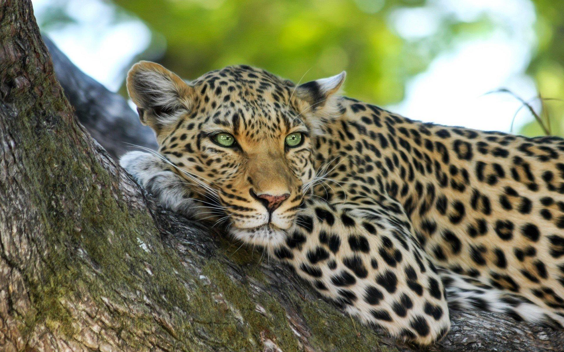 Fondos de pantalla Leopardo en un arbol